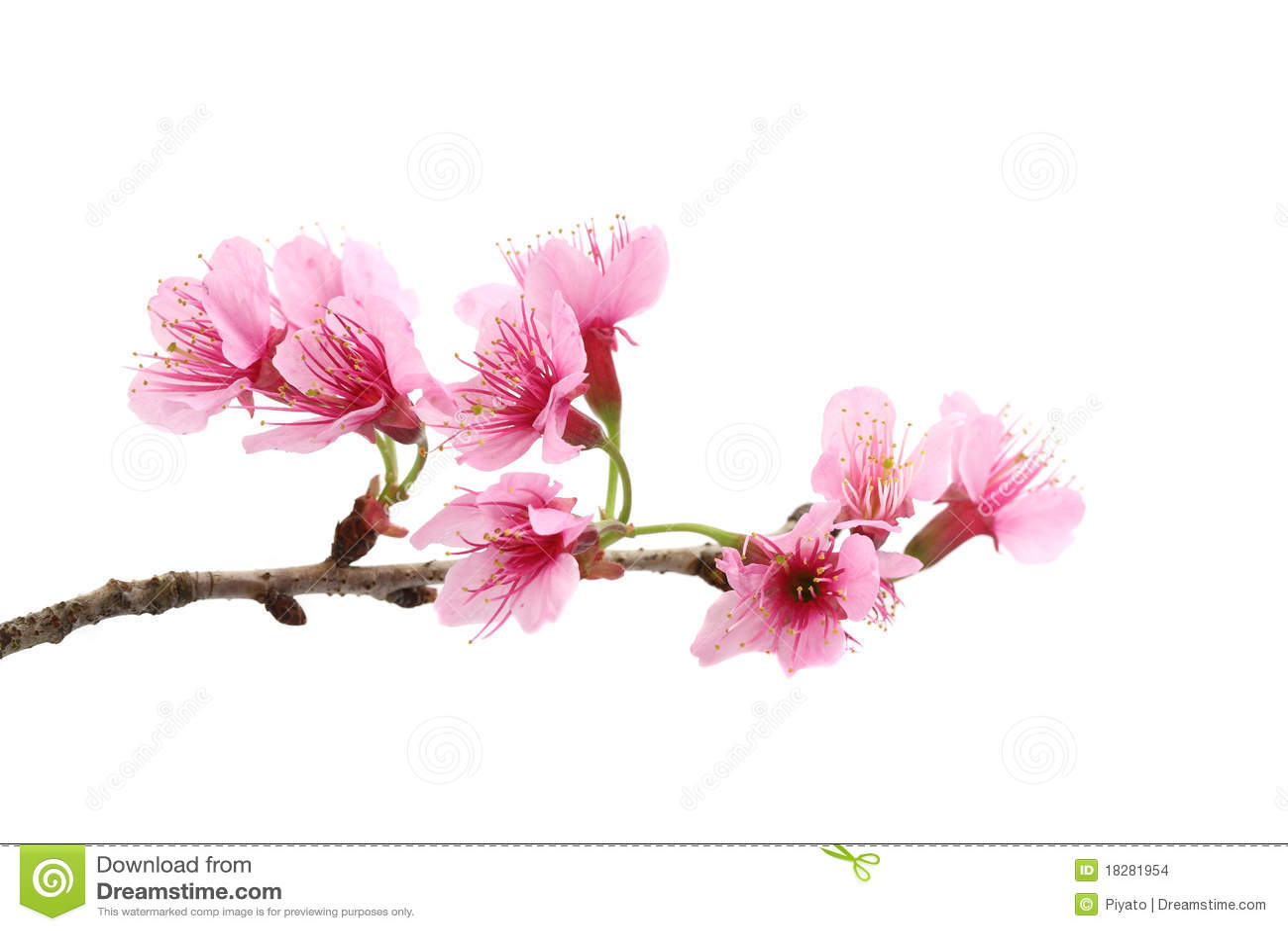 Cherry Blossom Pink Sakura Flower Stock Photo Image Of Close