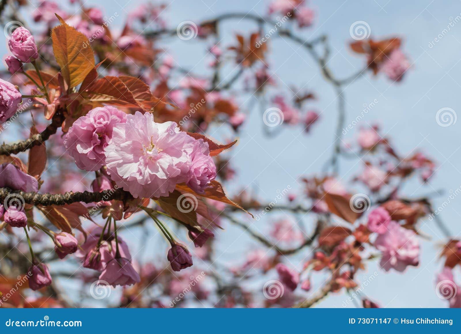 Cherry Blossom rosado con el cielo azul