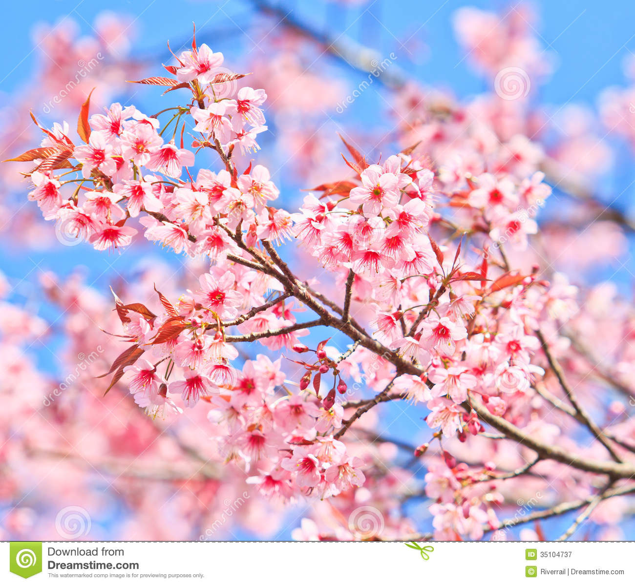 cherry blossom or sakura stock image  image of gardening