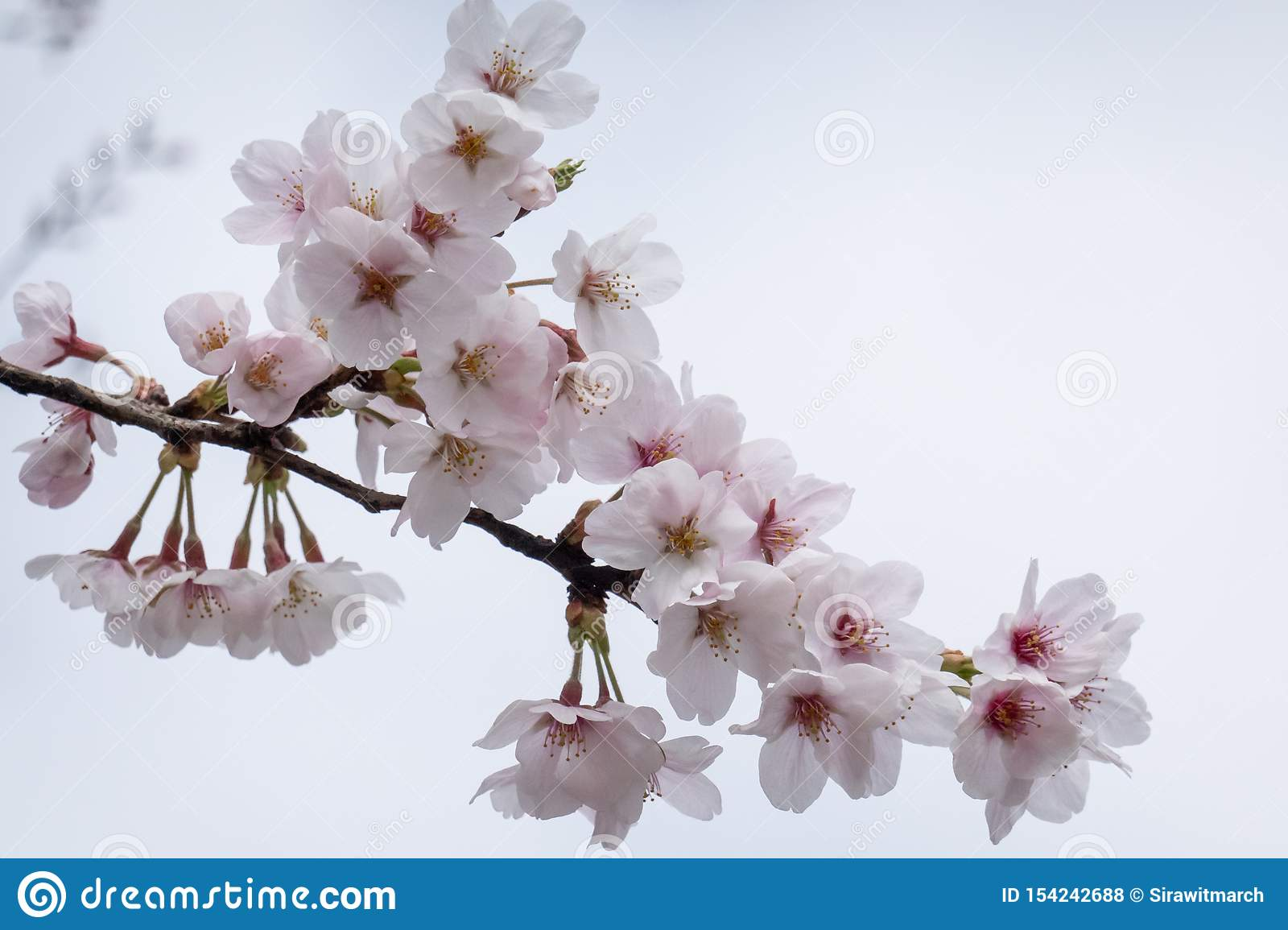 Cherry Blossom Sakura Branch With Flowers Stock Photo Image Of Beautiful Detail 154242688