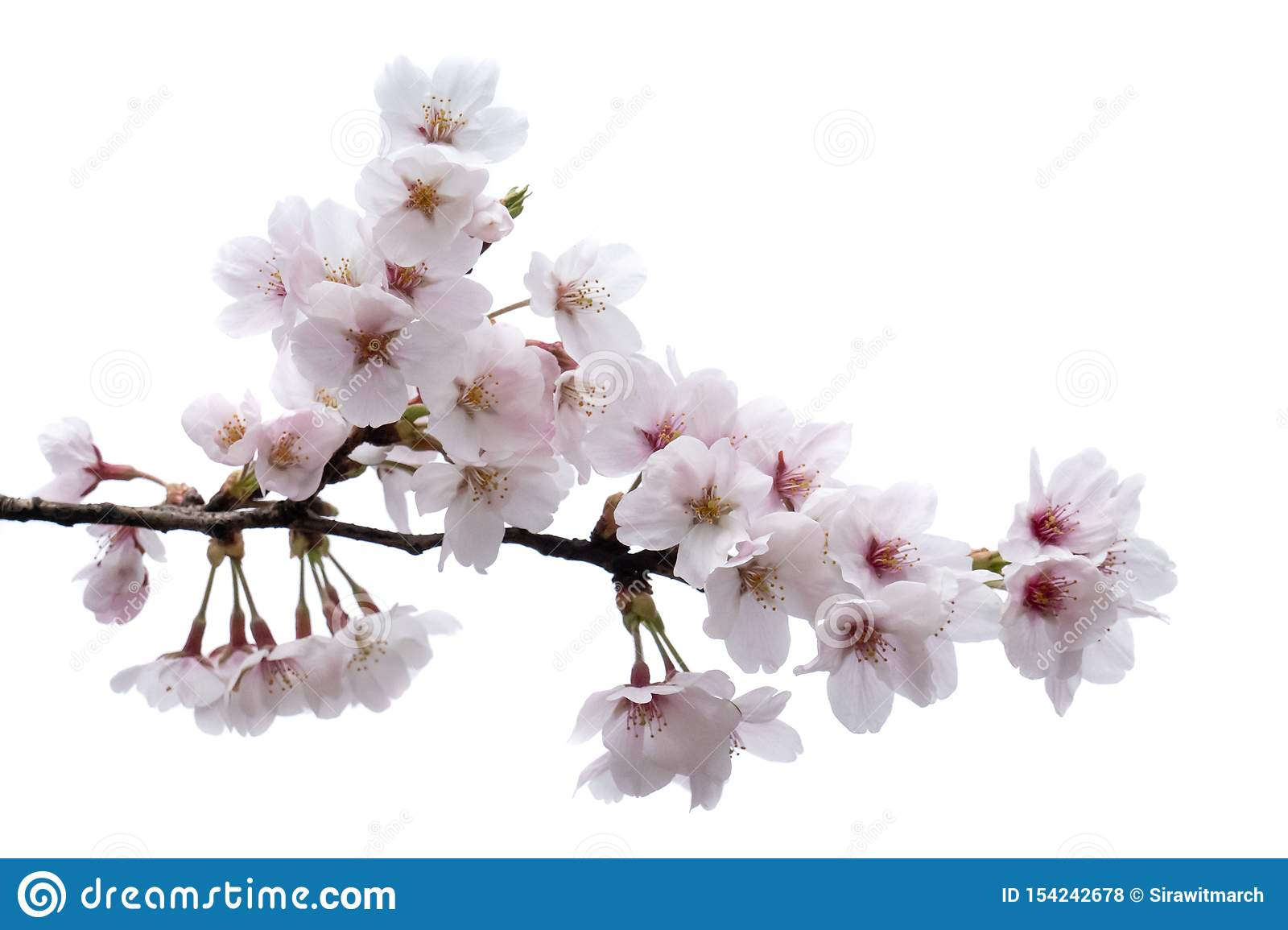 Cherry Blossom Sakura Branch With Flowers Isolated On White Background Stock Photo Image Of Decoration Beautiful 154242678
