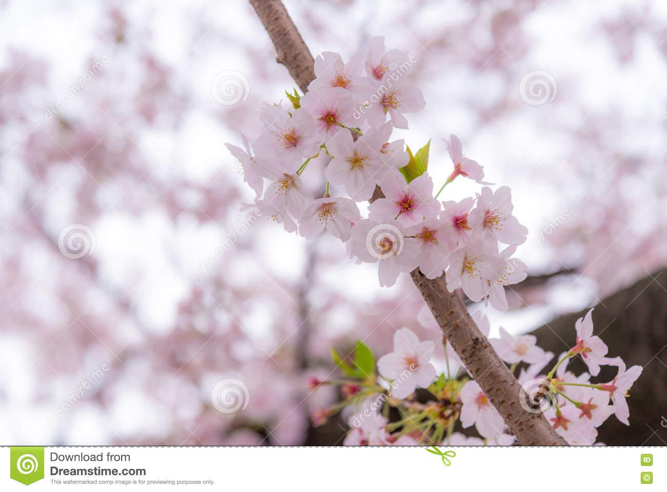 A cherry blossom or sakura in japan the blooming flower represents download a cherry blossom or sakura in japan the blooming flower represents the spring and izmirmasajfo