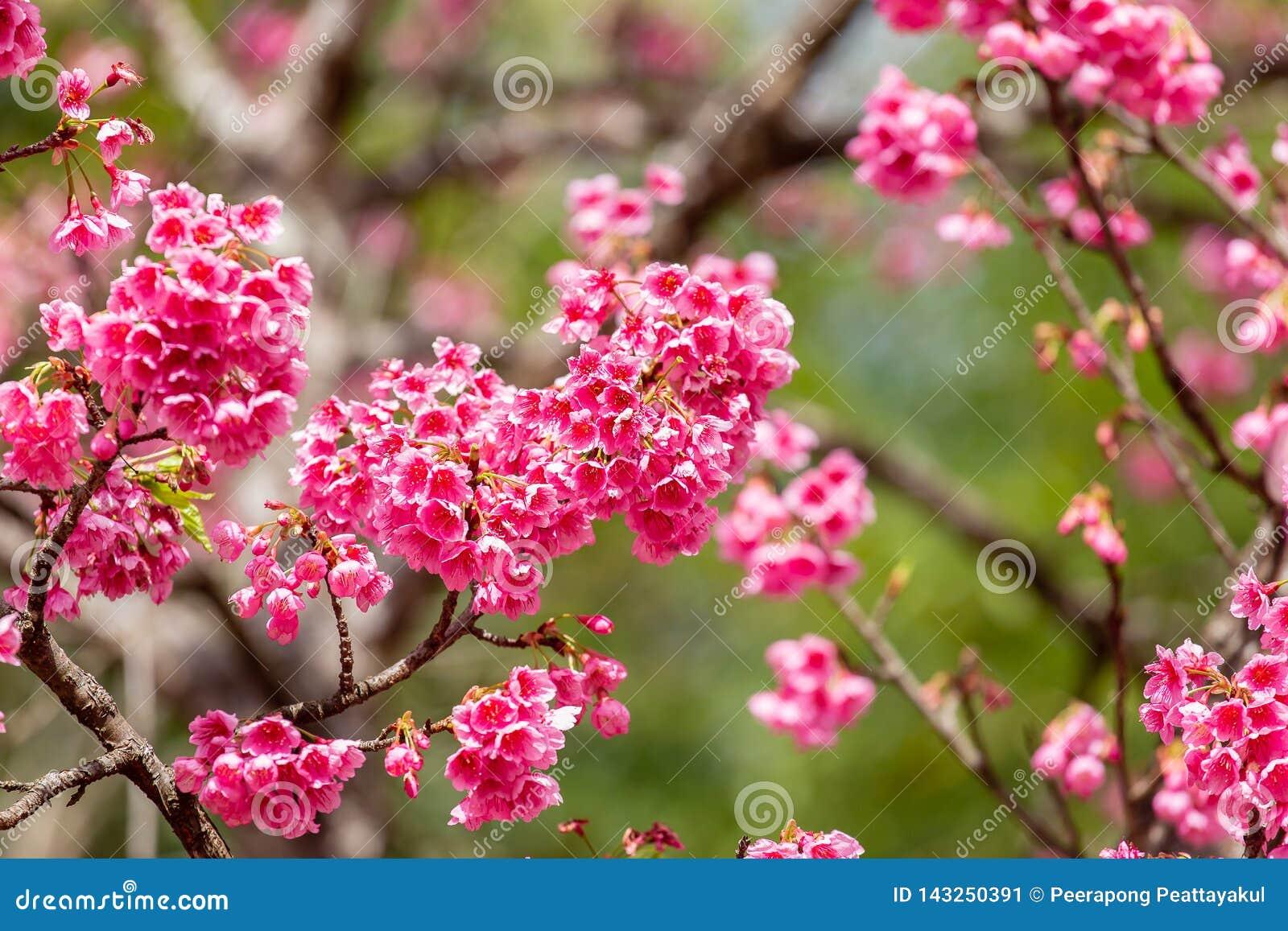 Cherry Blossom And Sakura Wallpaper Stock Image Image Of