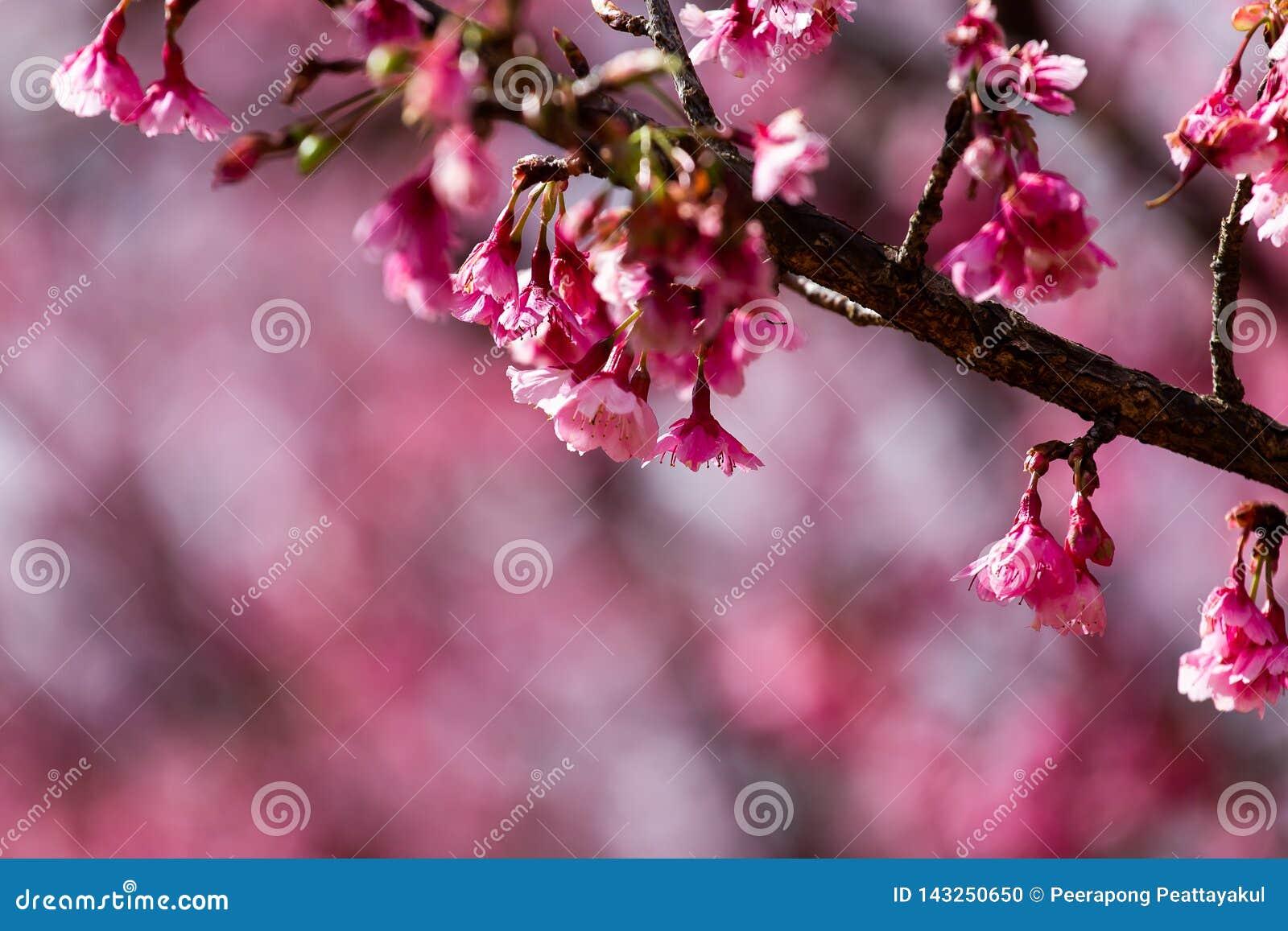 Cherry Blossom And Sakura Wallpaper Stock Photo Image Of