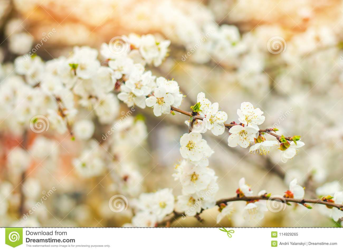 Cherry blossom on a sunny day, the arrival of spring, the blossoming of trees, buds on a tree, natural wallpaper