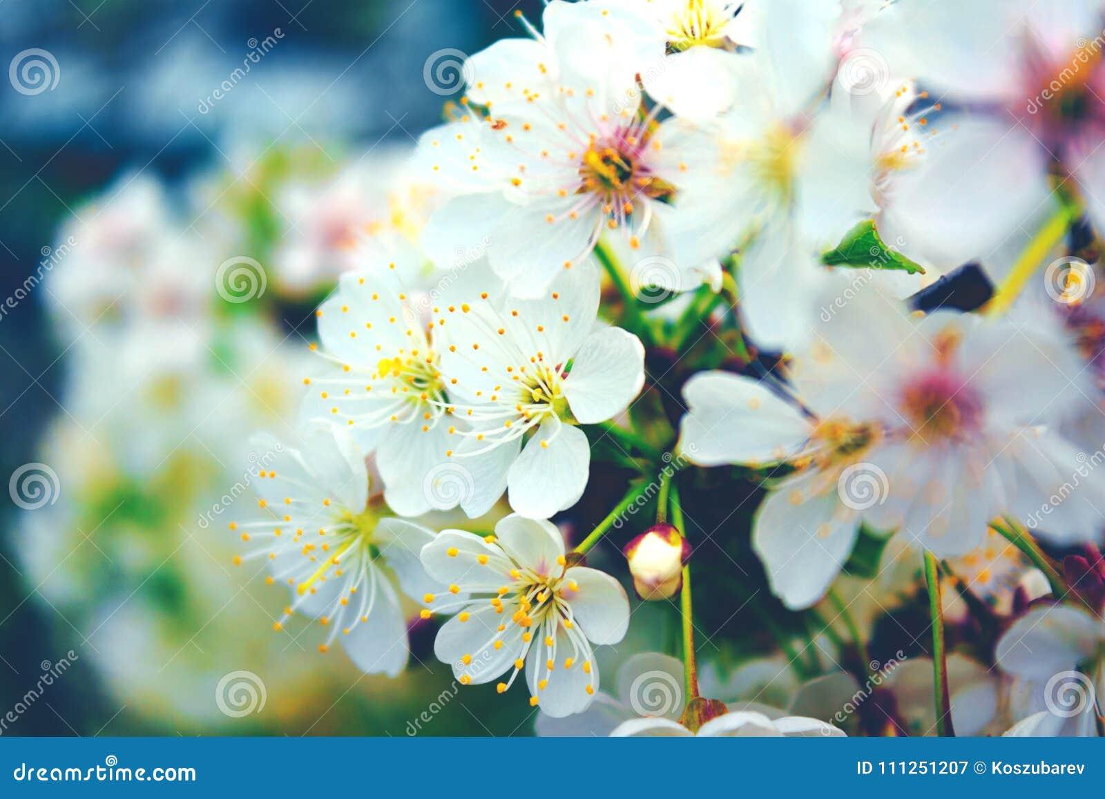 Cherry Blossom Tree Stock Image Image Of Design Bloom 111251207