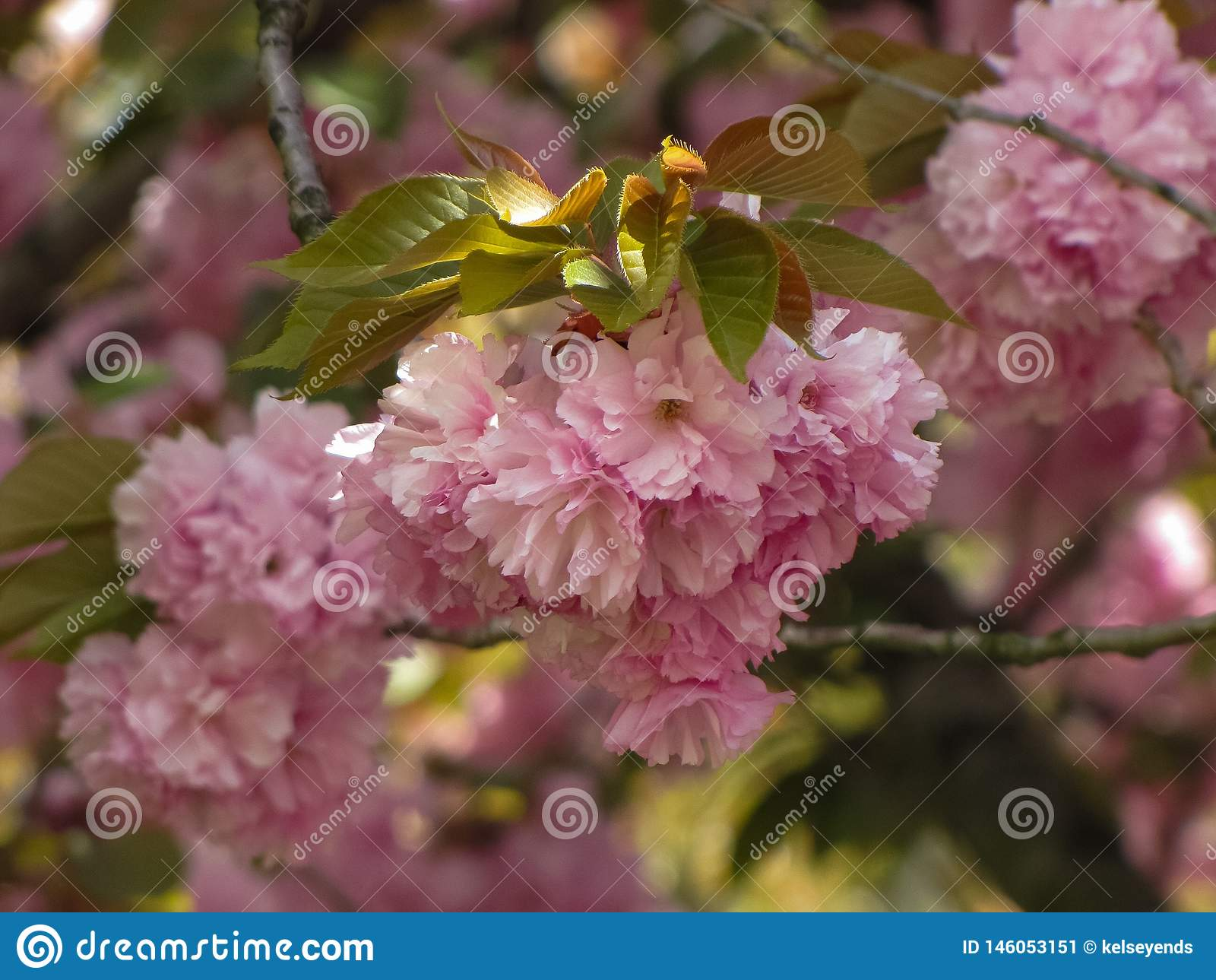 Cherry Blossom Tree en luz del sol