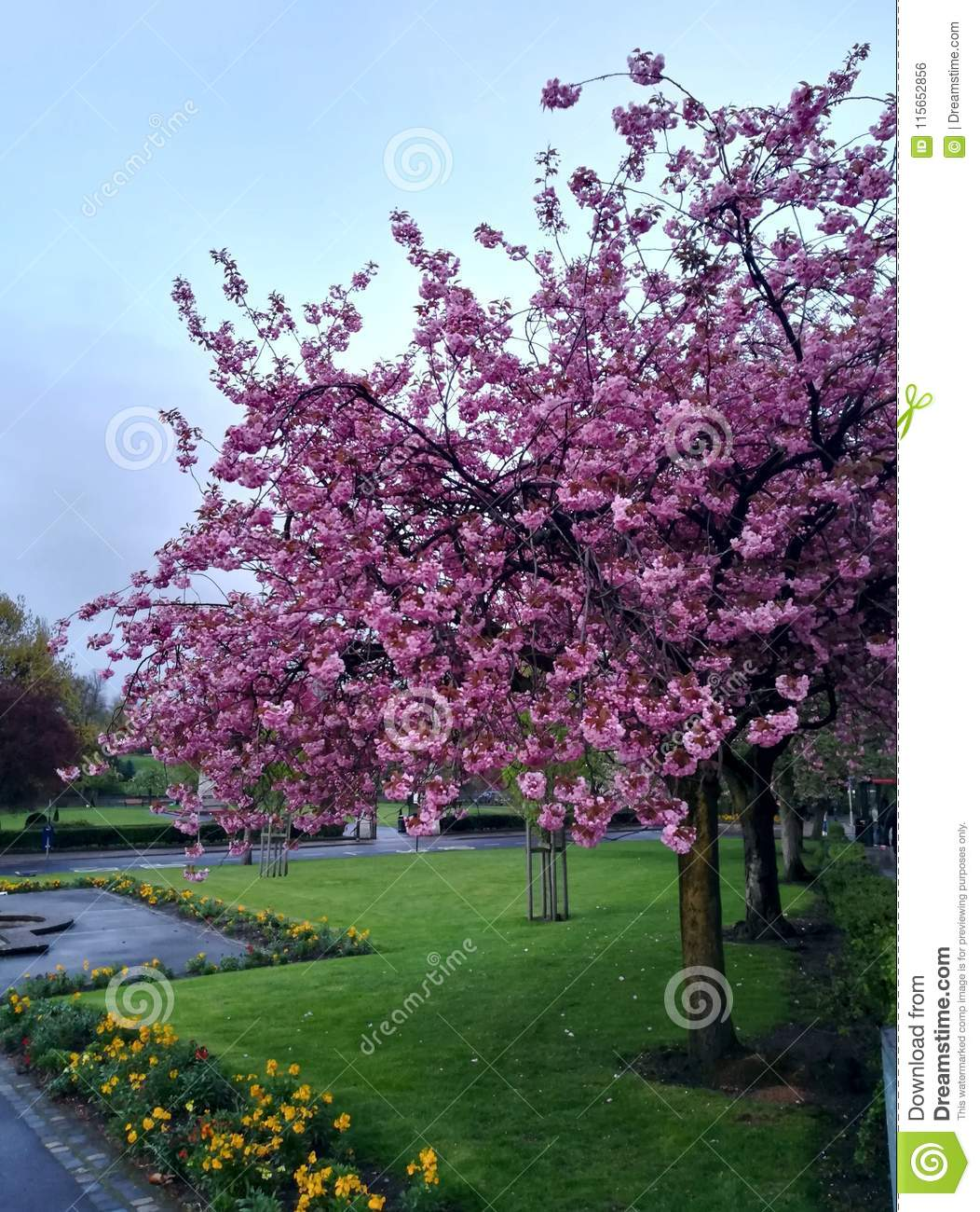 Cherry blossom tree with pink flower