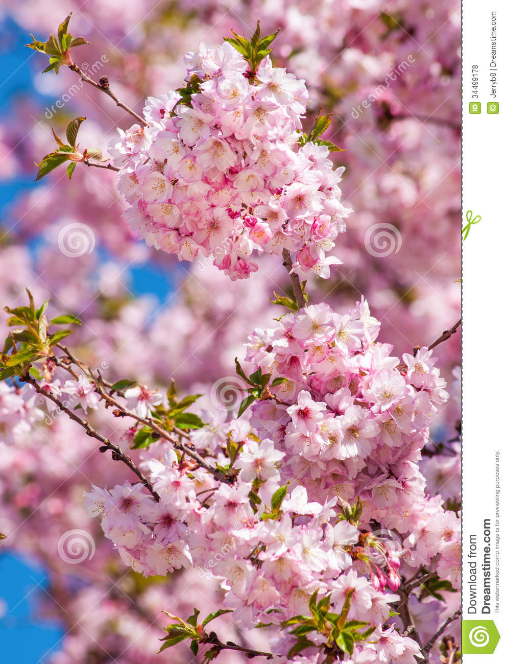 Cherry Blossom Tree Royalty Free Stock Photos - Image: 34499178