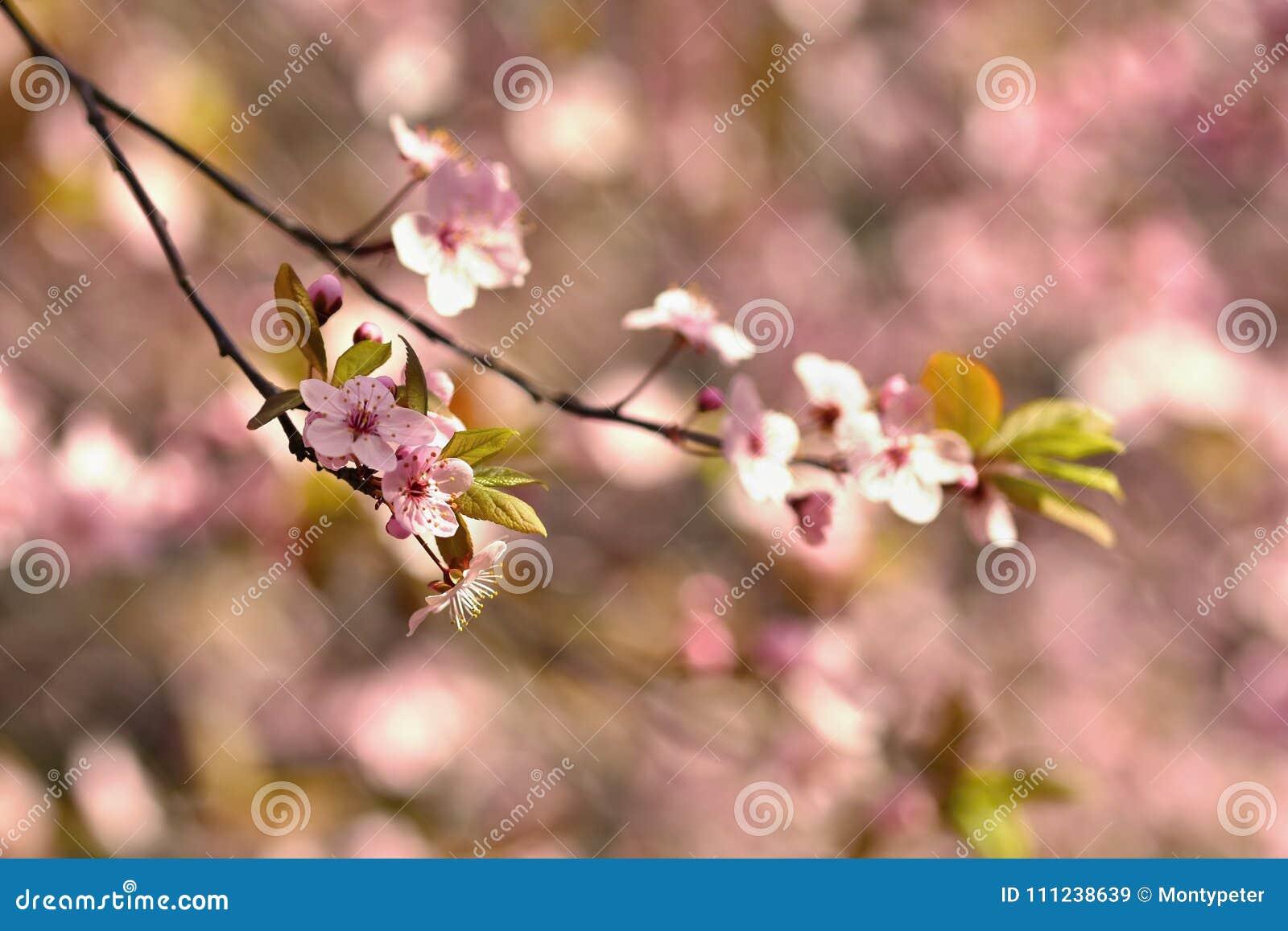 Cherry Blossom Trees Nature And Springtime Background Pink Sakura