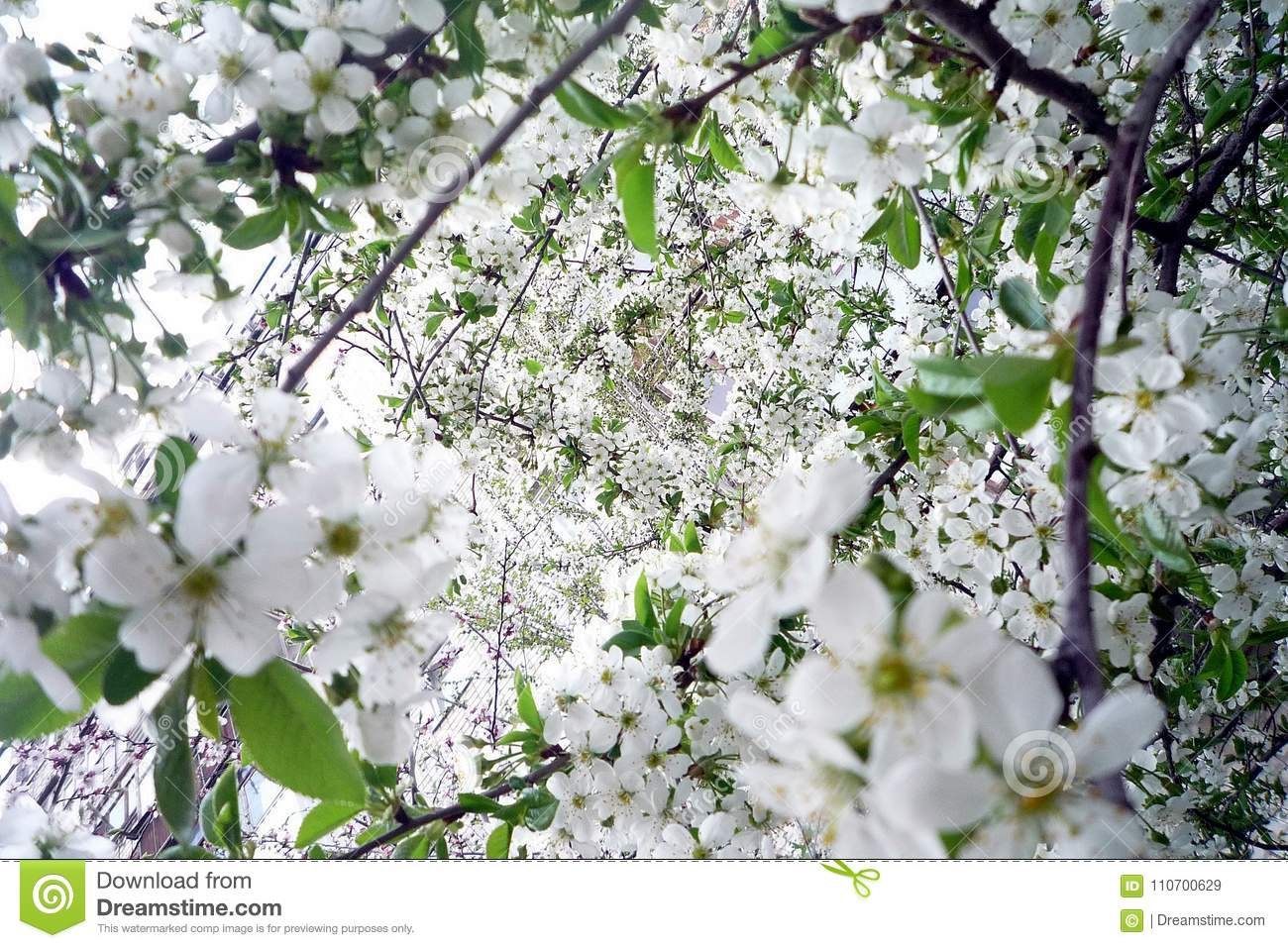 Cherry Blossom White Flowers On A Sunny Spring Day Stock Image