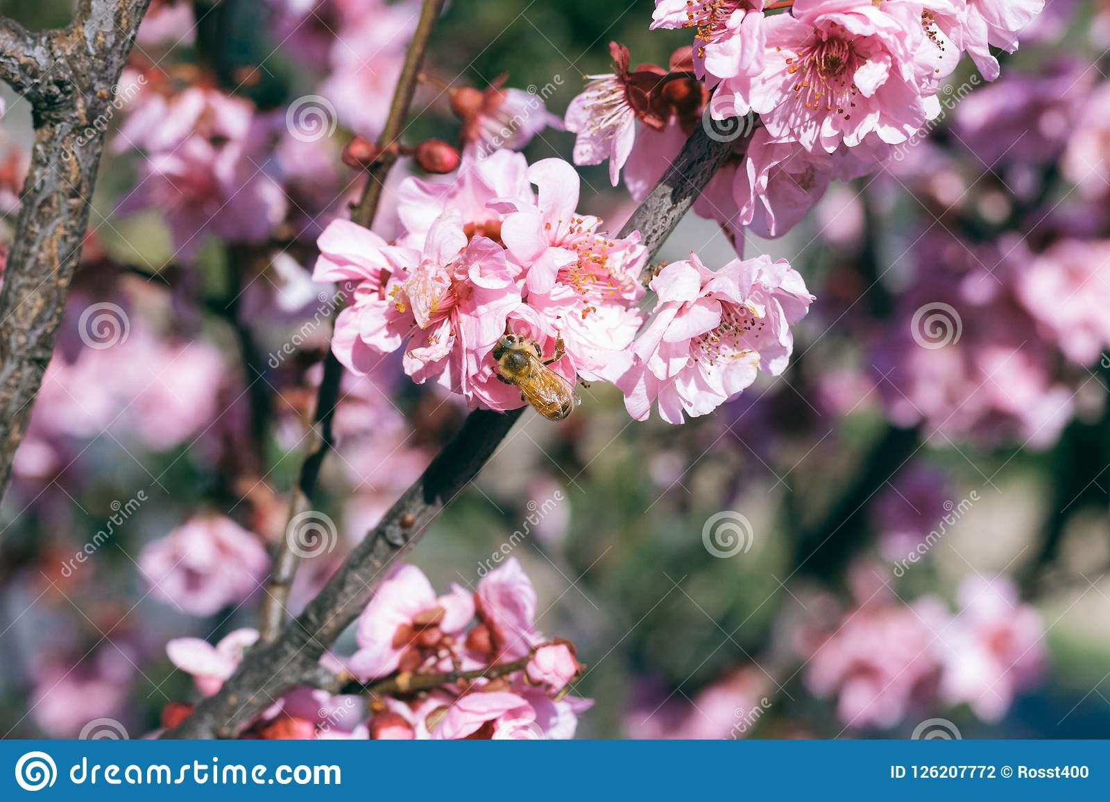 Cherry Blossoms blooms with bumble bee