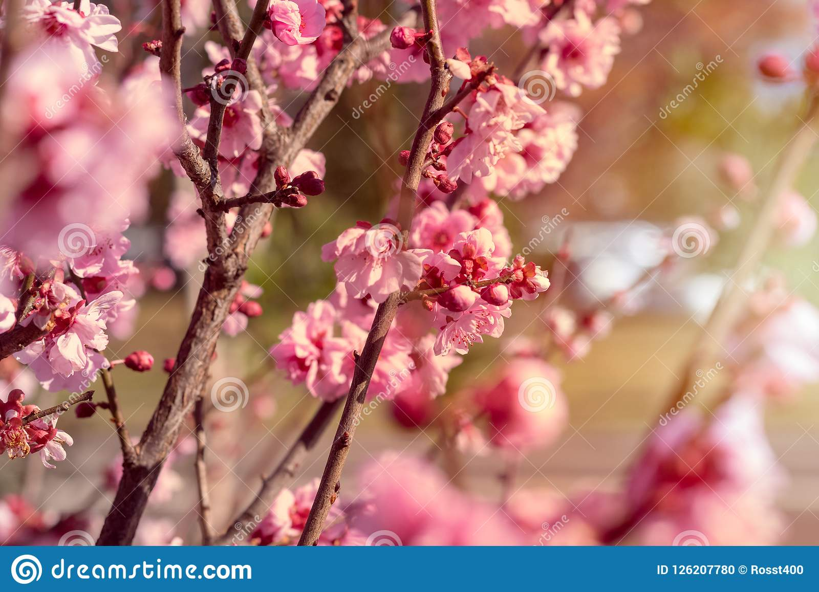 Cherry Blossoms blooms in spring day sunshine