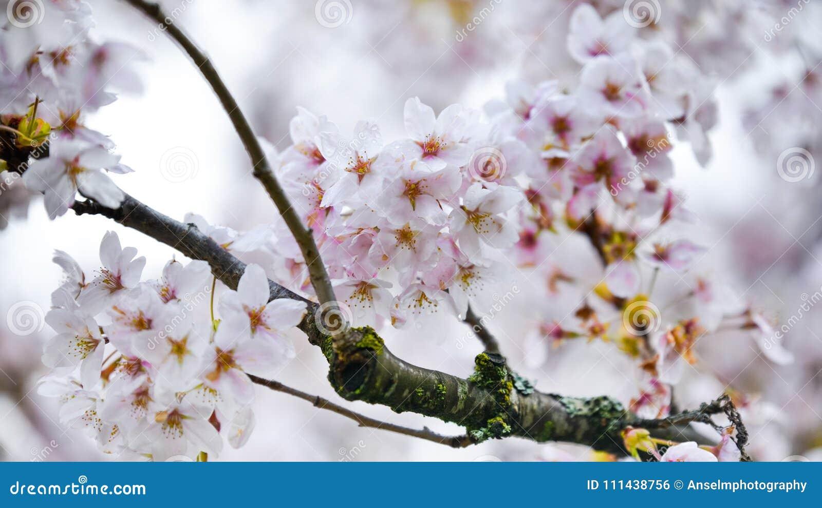 Cherry Blossoms That Hang On rosáceo blanco al árbol antes del viento los barrió a la maravilla de la primavera de la estación