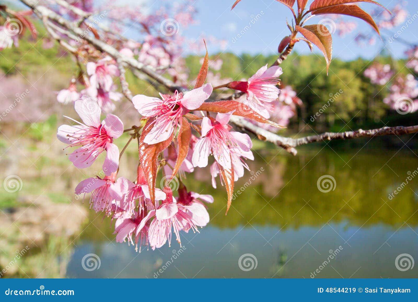 Cherry Blossoms i natur