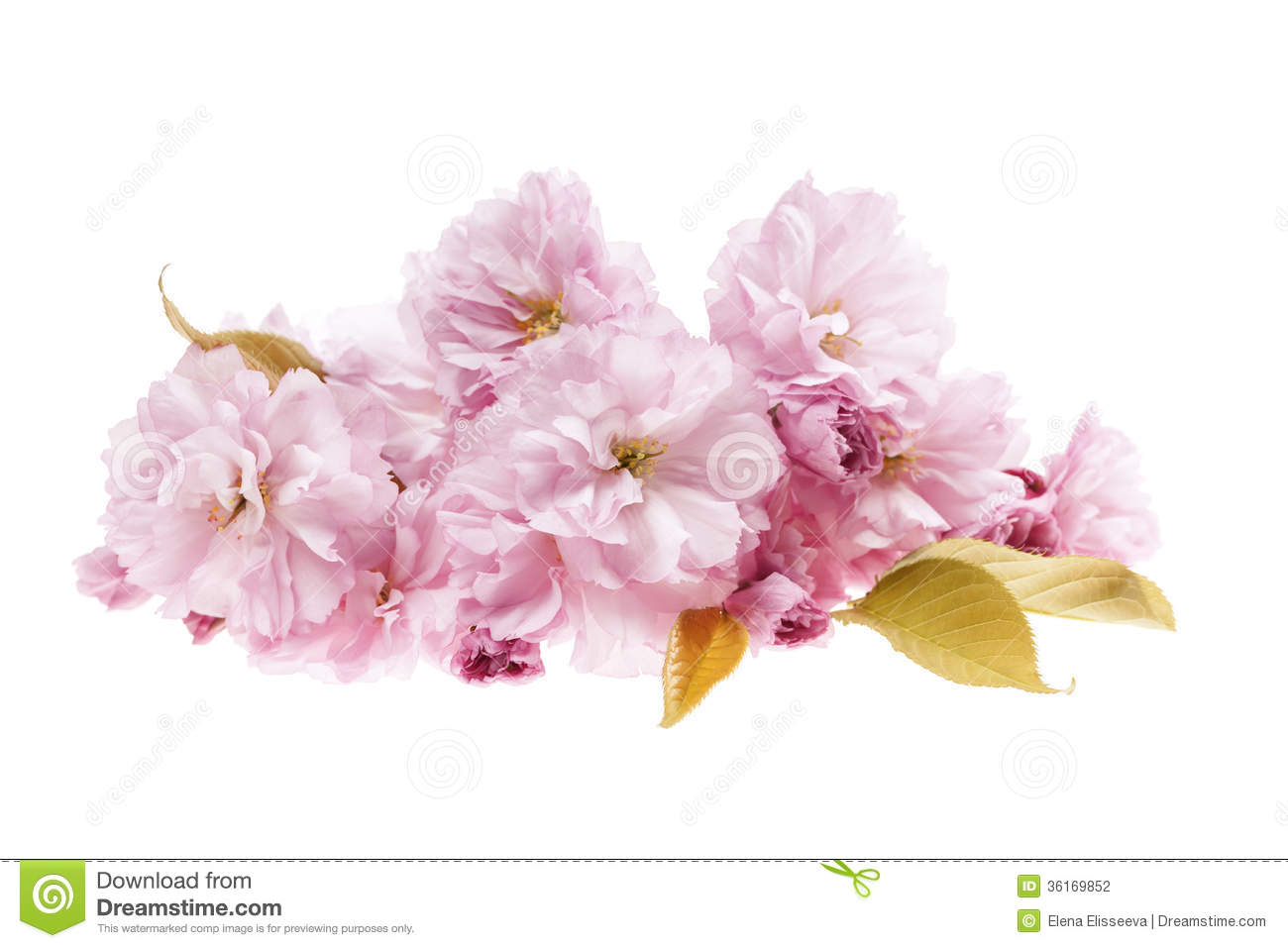 Cherry blossoms isolated stock photo image of flower 36569192 cherry blossoms isolated stock photography mightylinksfo