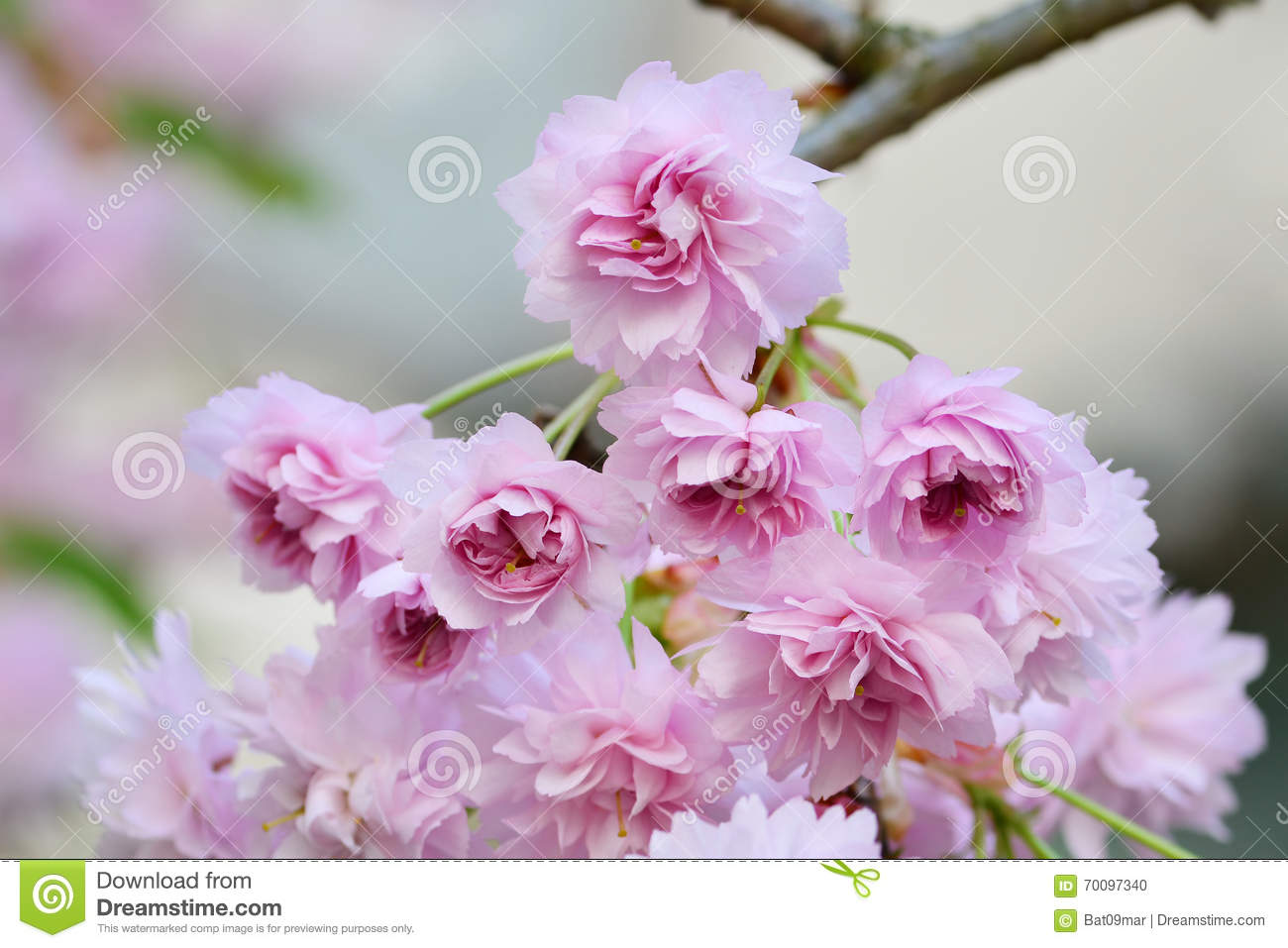dating asian cherry blossoms My thoughts about the cherry blossoms dating site.