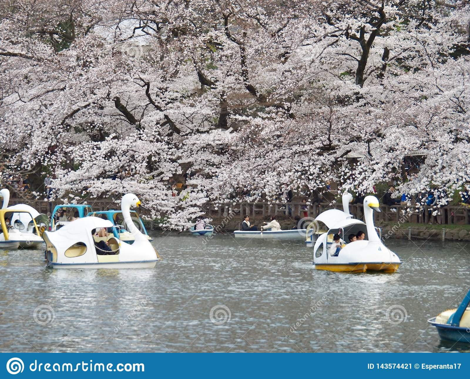 Cherry Blossoms japonês na flor