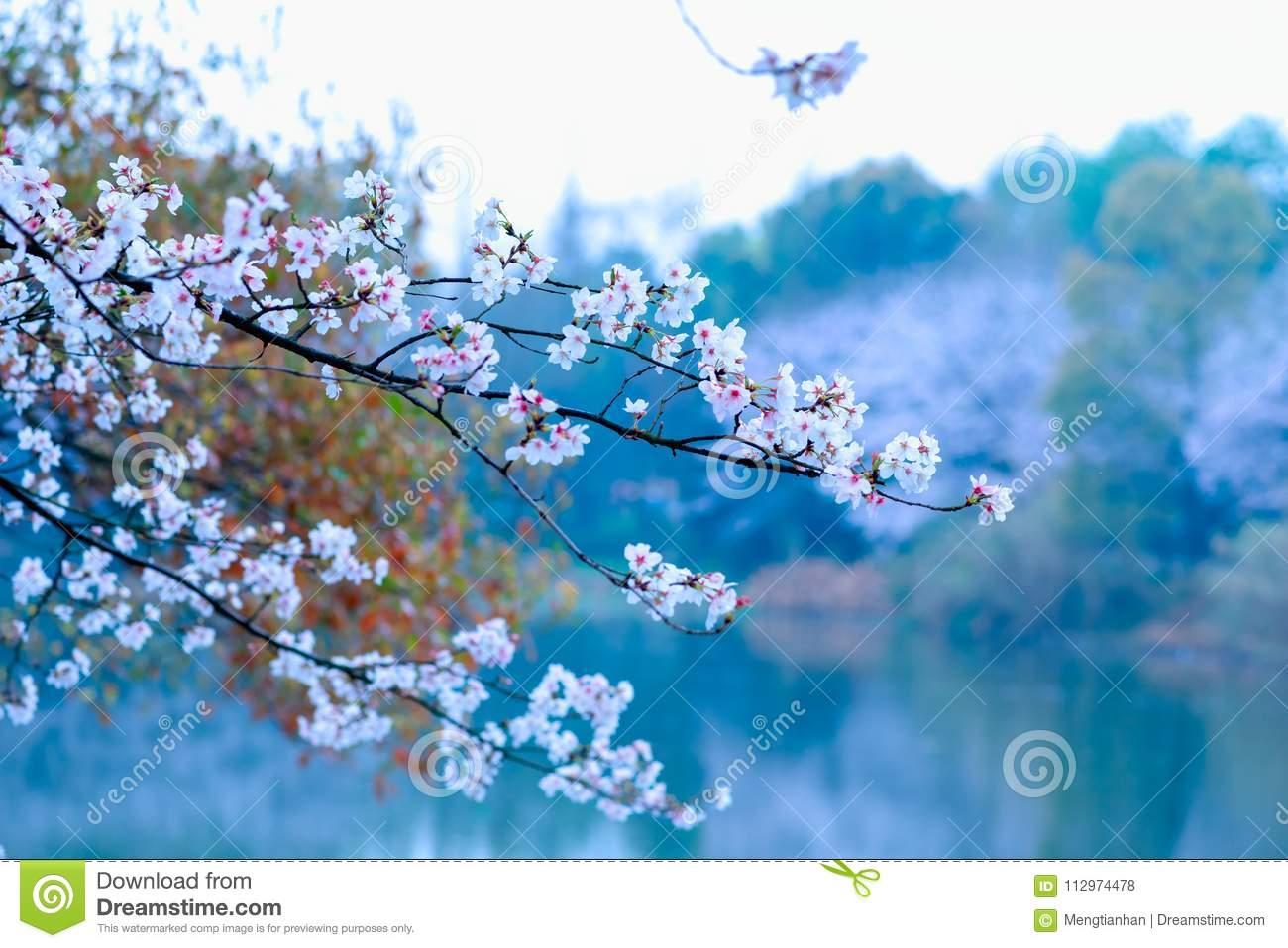 Cherry Blossoms Are Like Snow Stock Photo - Image of bright, cherry