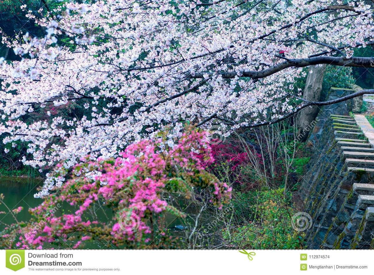 Cherry Blossoms Are Like Snow Stock Photo - Image of everything