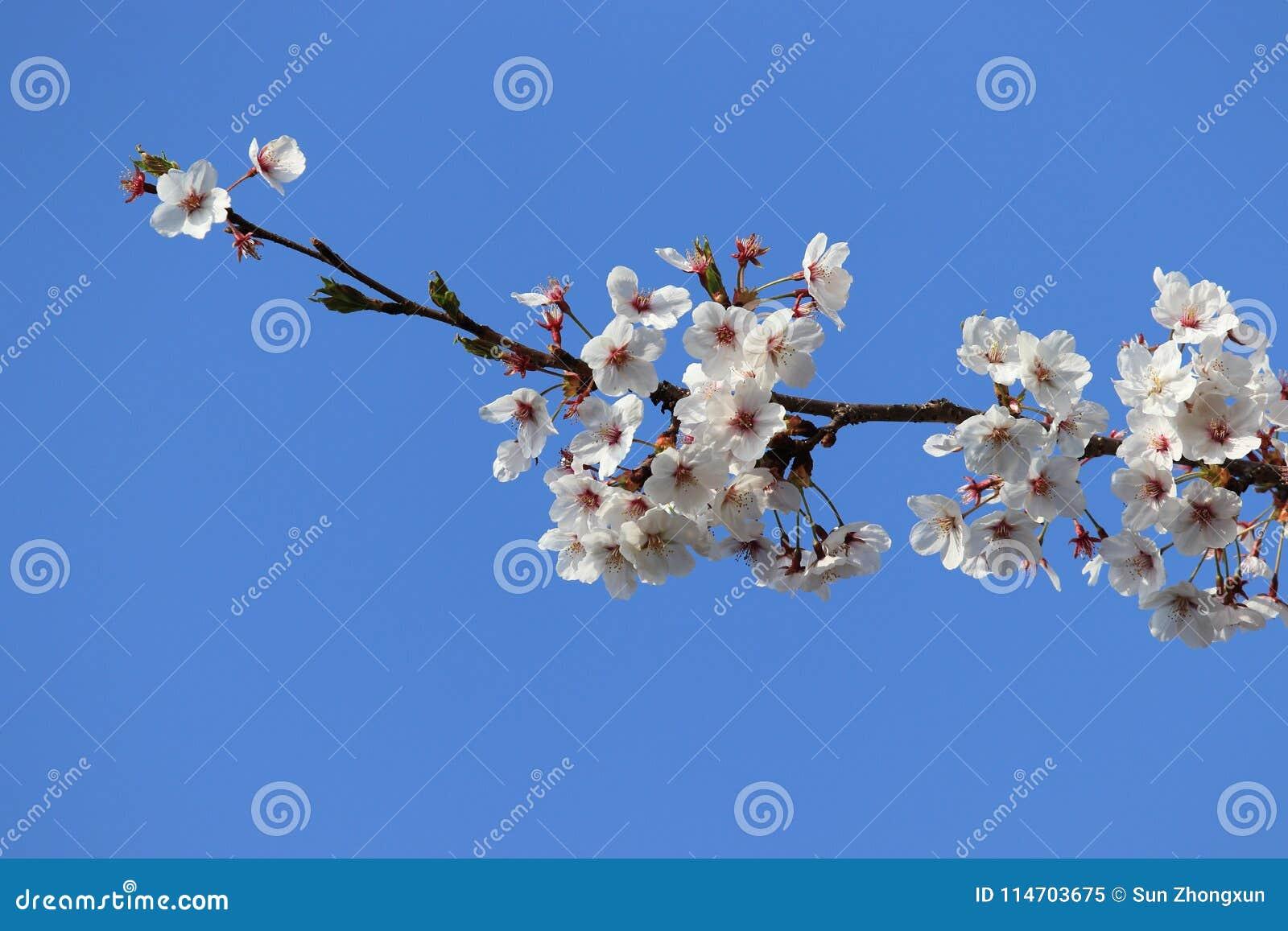 Single Cherry Cerasus Sp Stock Image Image Of Family 114703675