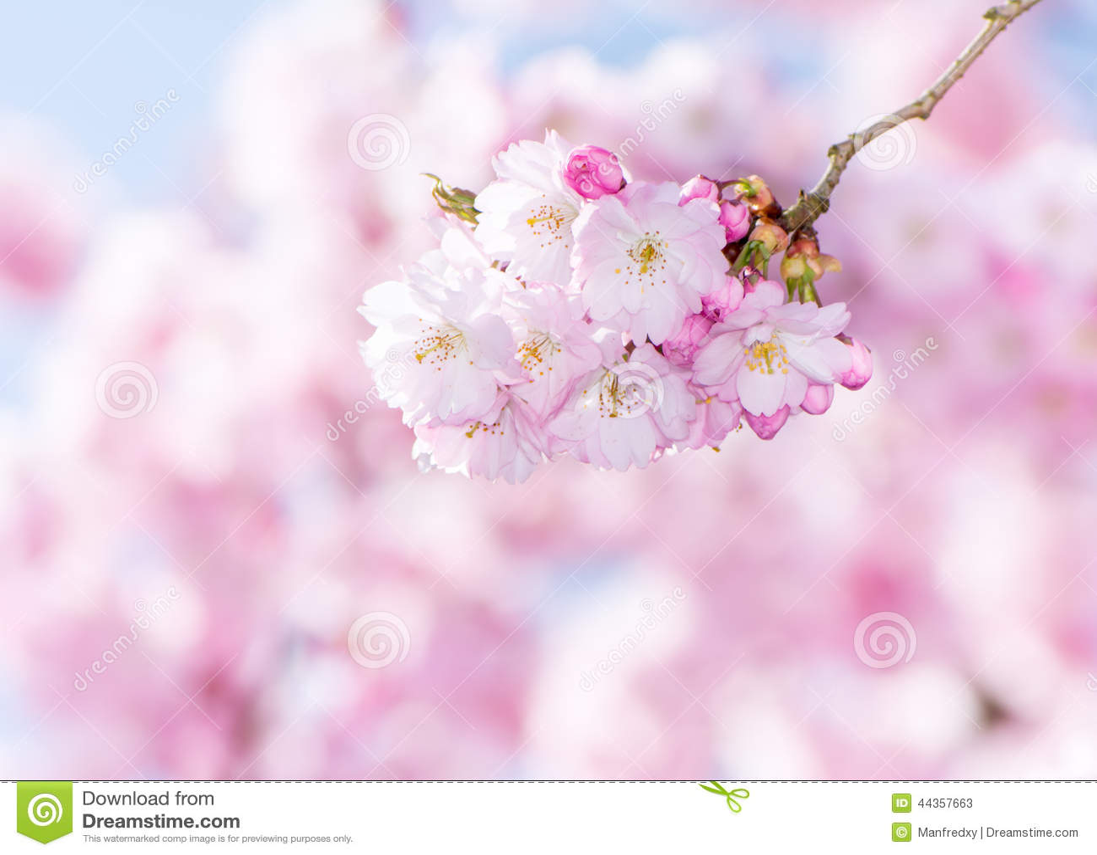 Cherry Blossoms rosa