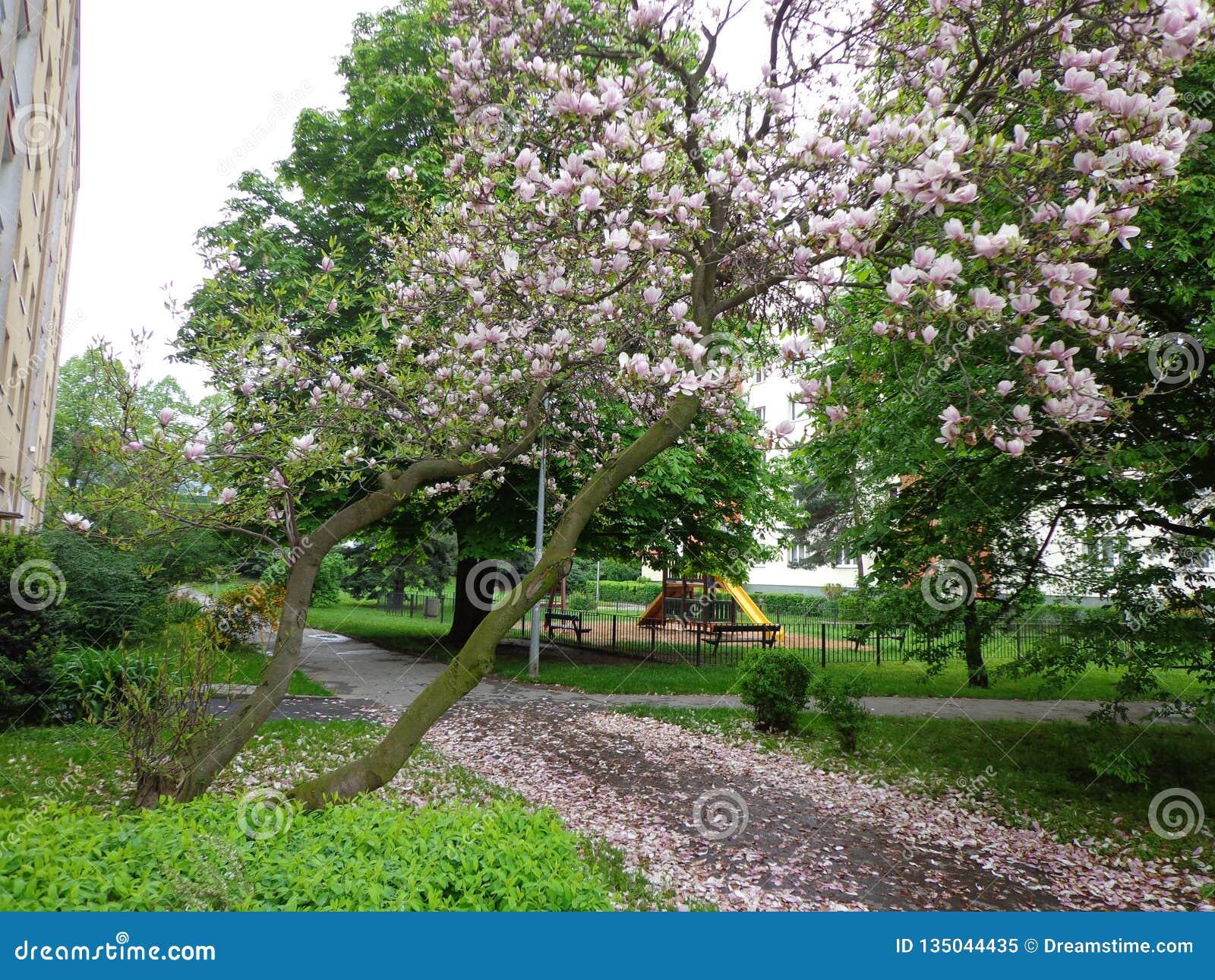 Cherry blossoms street prague czech republic