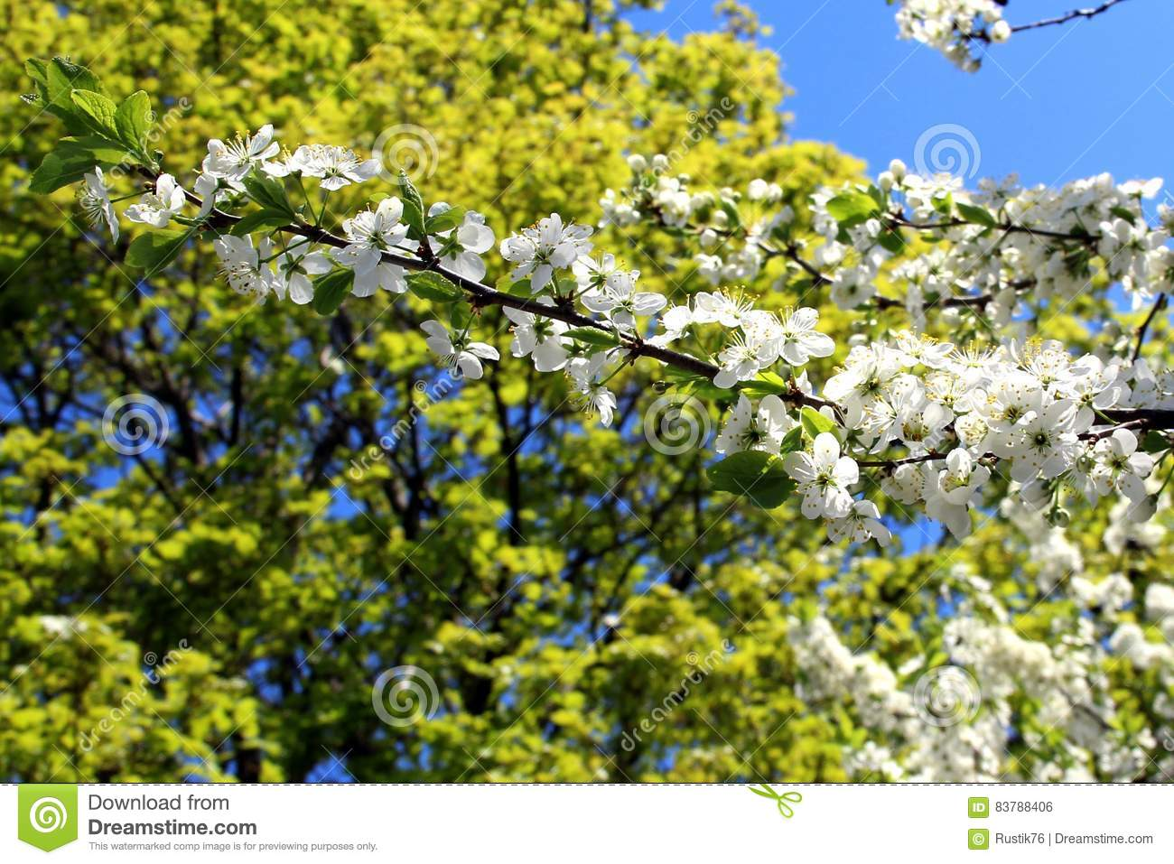 Cherry blossoms. stock photo. Image of flower, cluster - 83788406