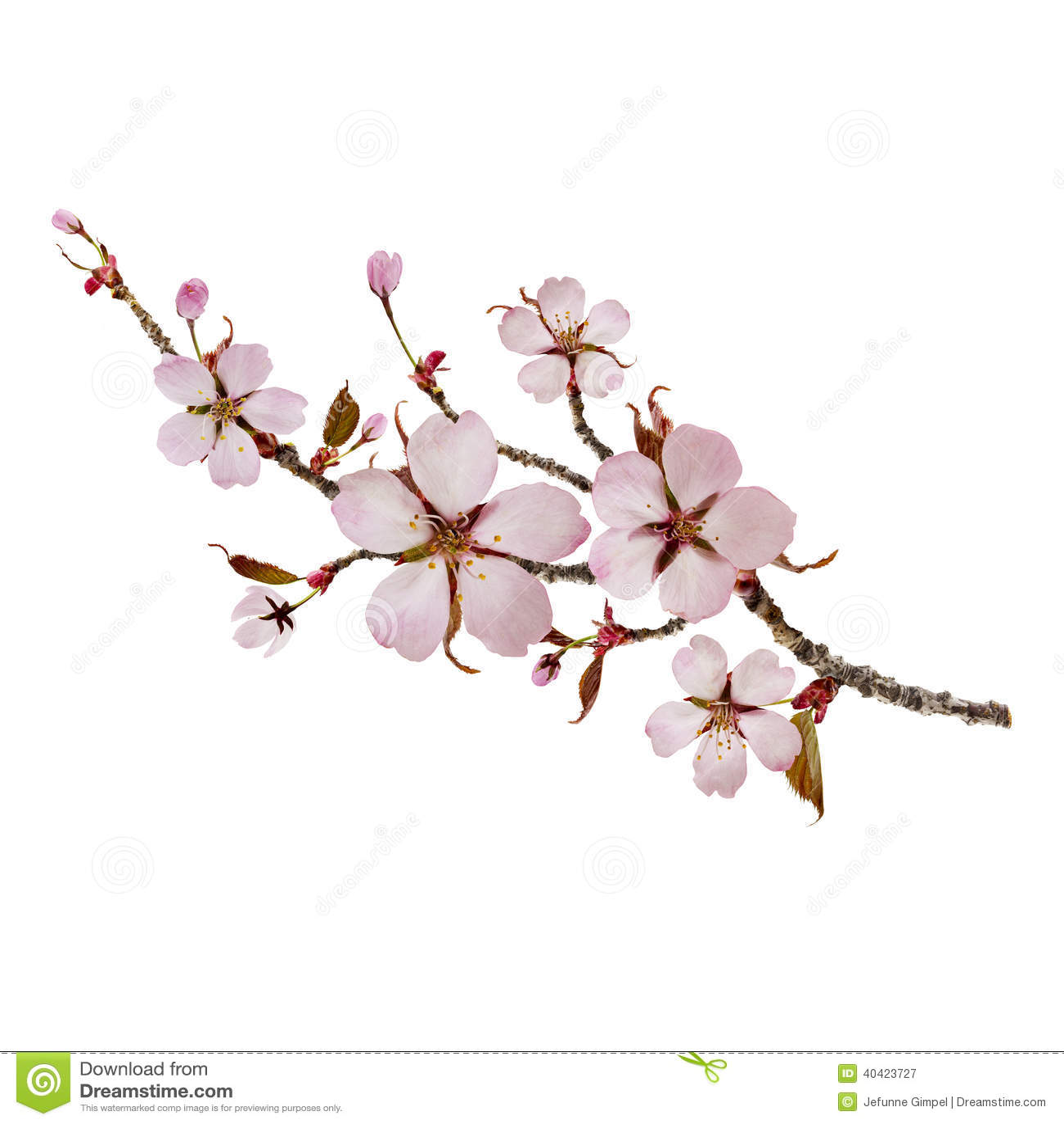Cherry Branch Stock Photo - Image: 40423727