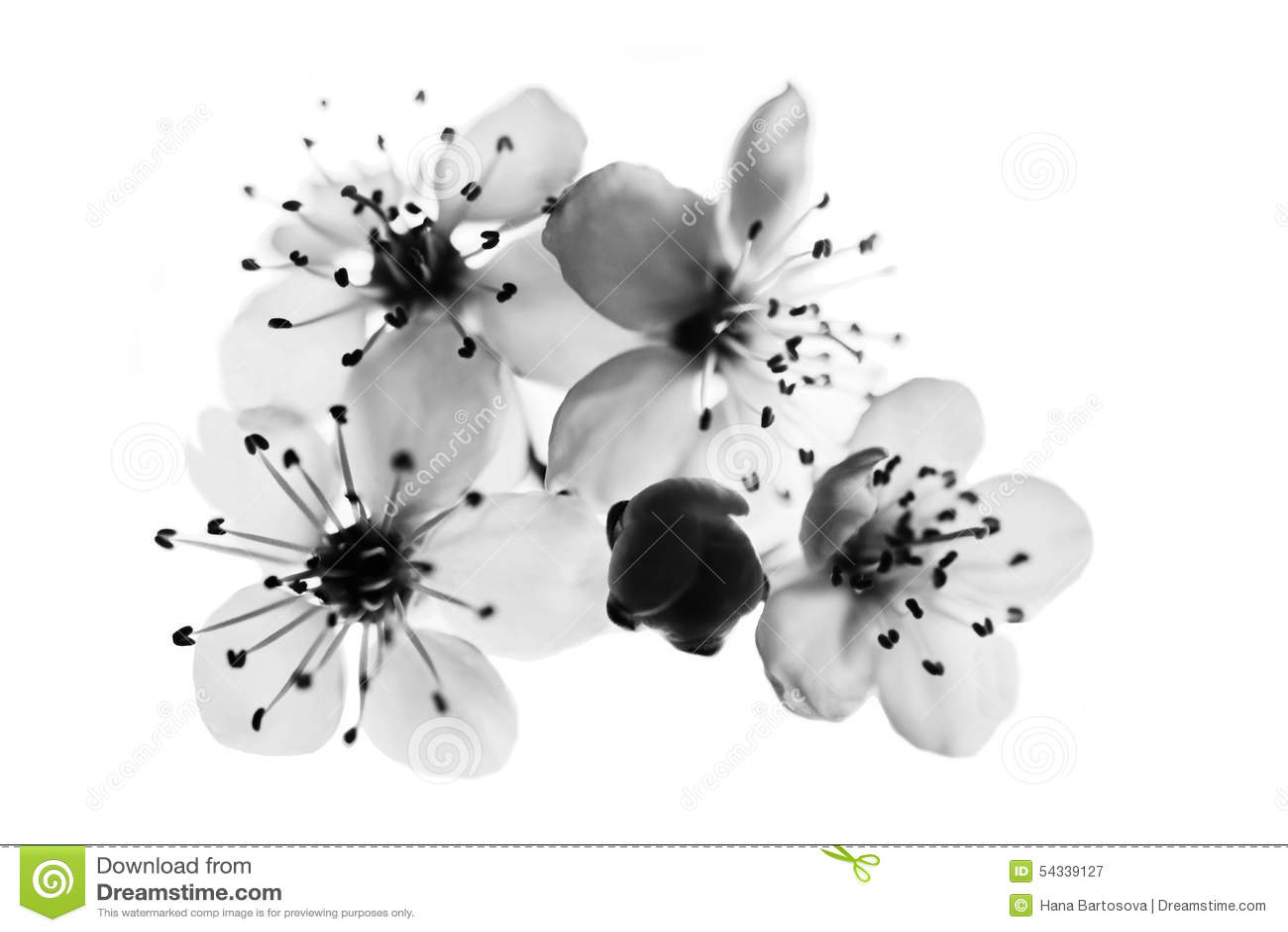Cherry Flower Black And White Stock Photo - Image: 54339127