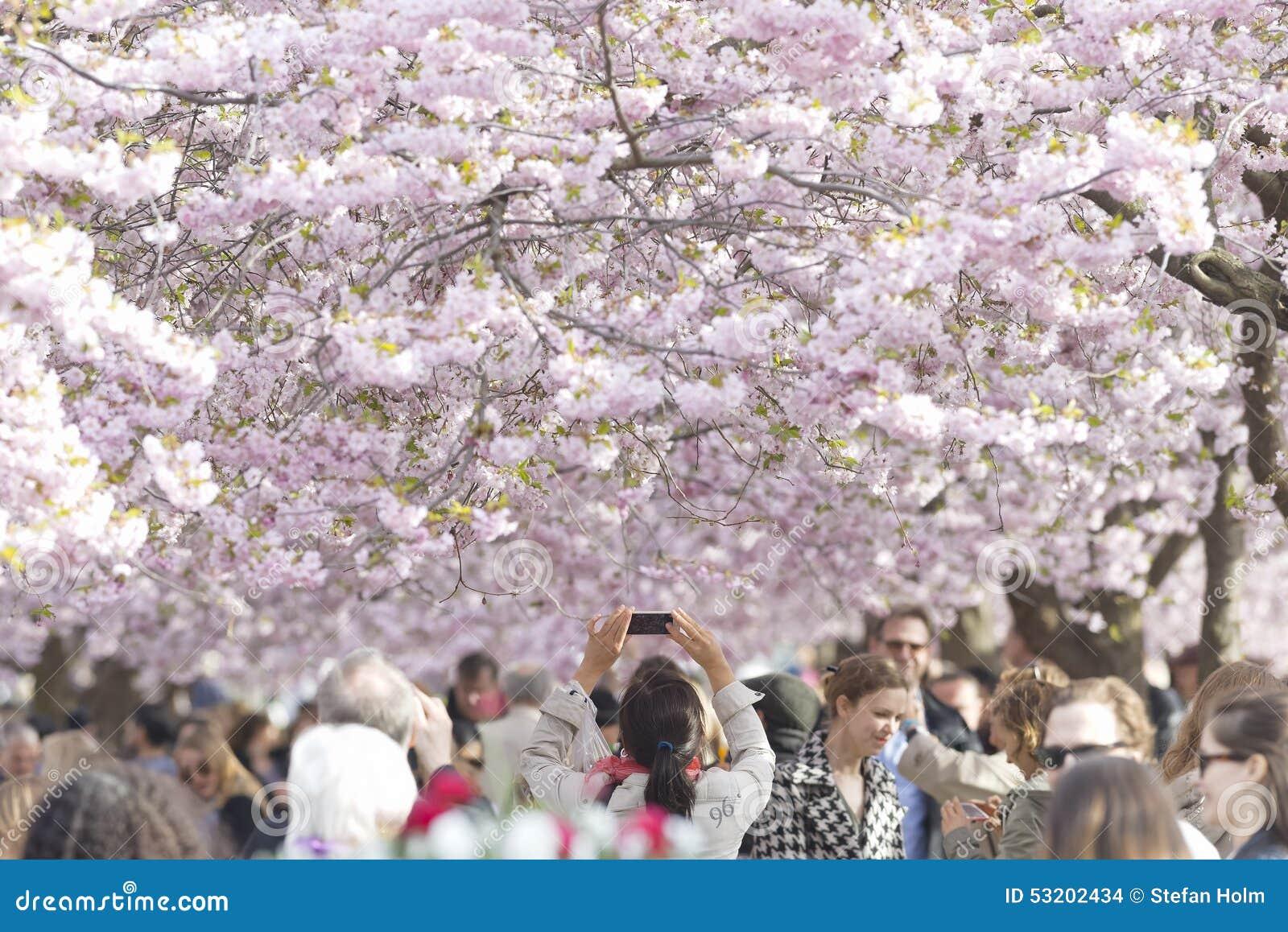 Cherry flower blooming in Kungstradgarden in Stockholm, Sweden