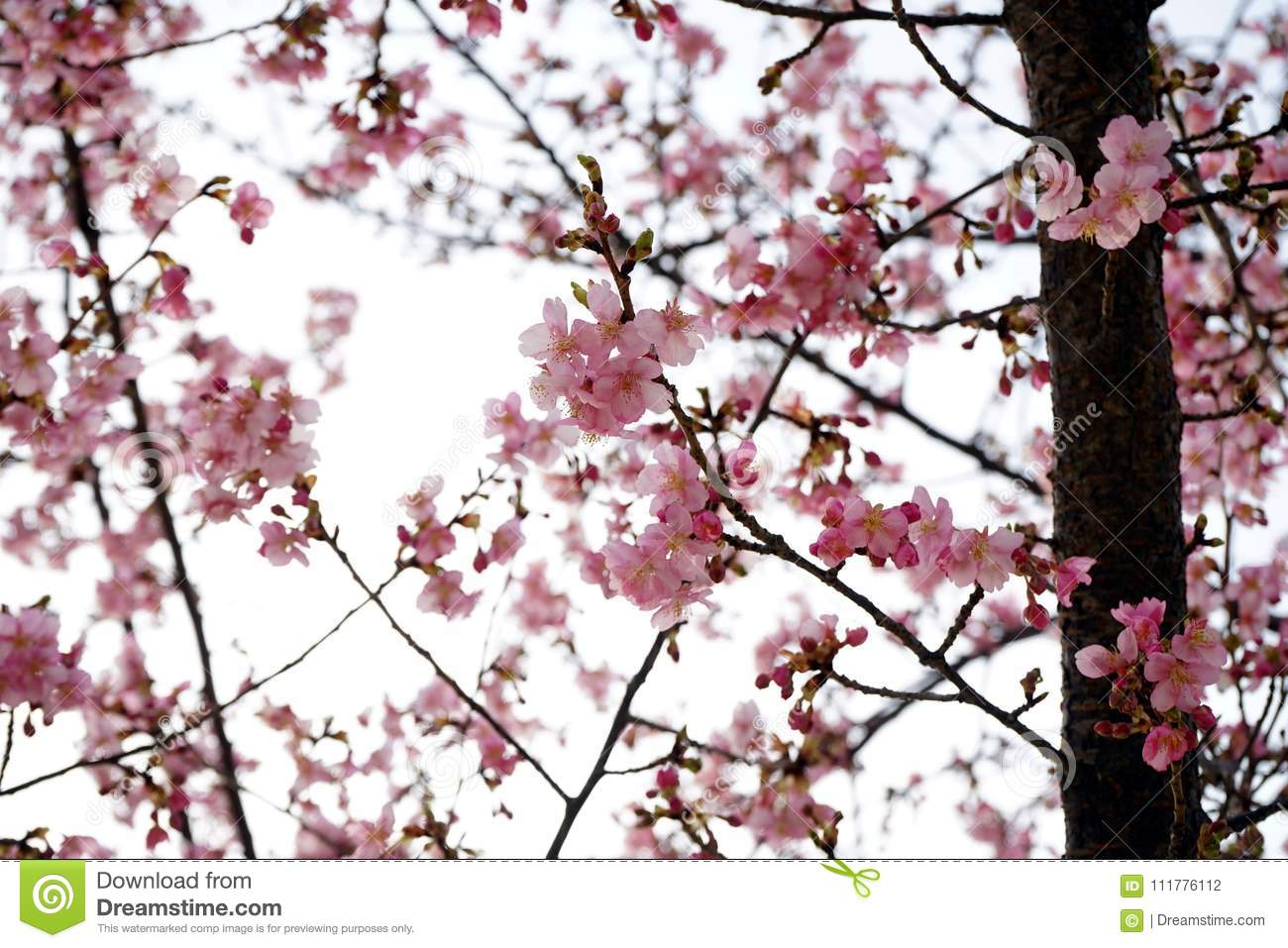Cute cherry blossom with the scattered background