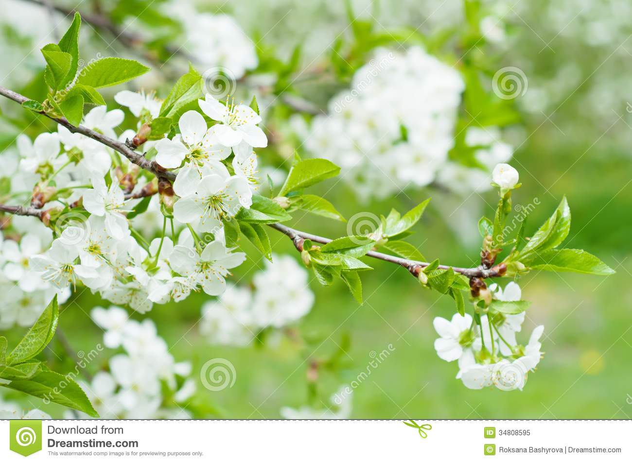 Cherry Flowers Stock Image Image Of Garden Gardening 34808595