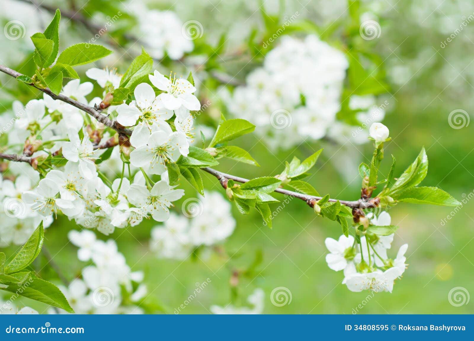 Cherry Flowers Royalty Free Stock Photo Image 34808595