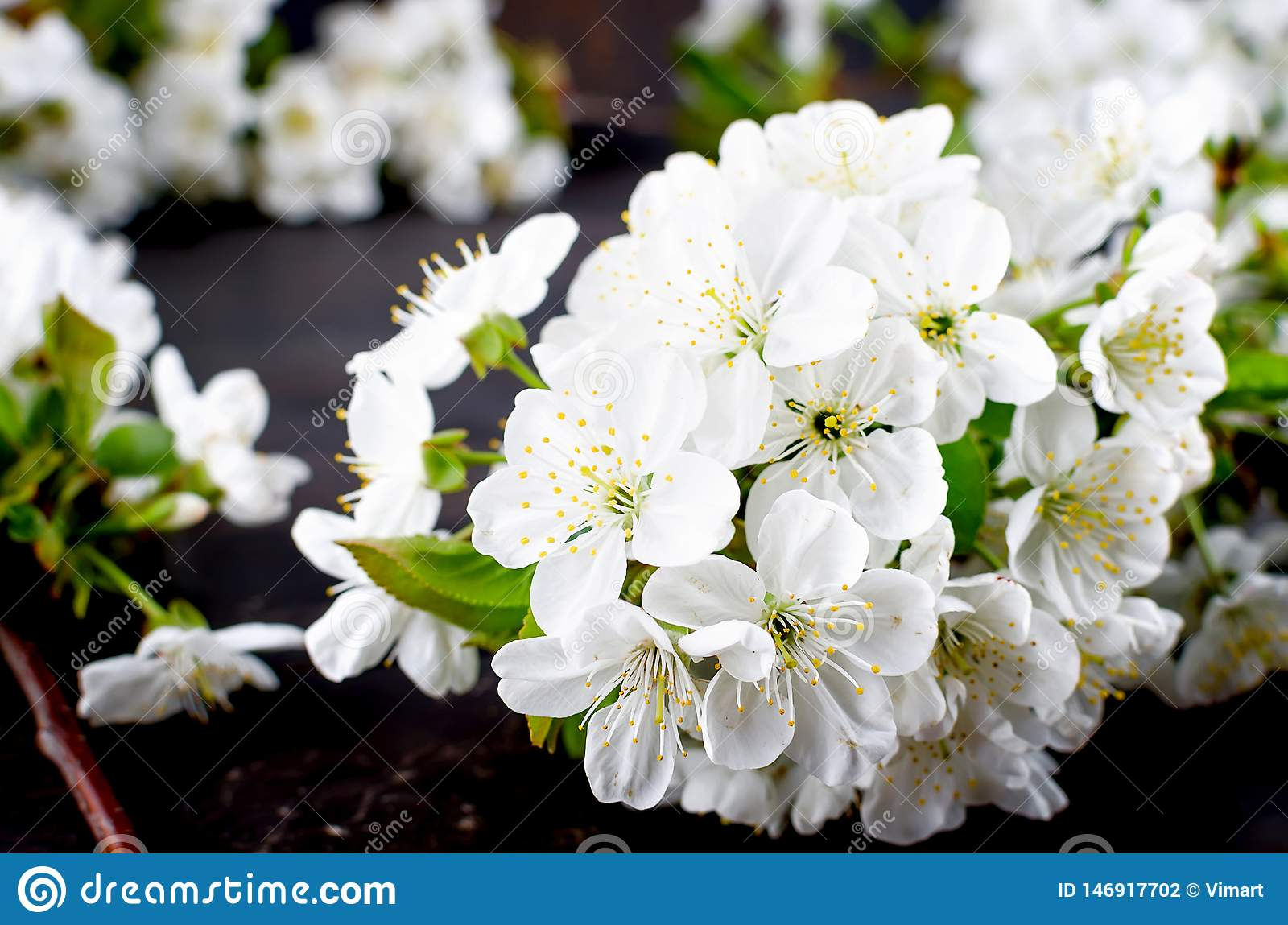 cherry flowers on dark wooden background