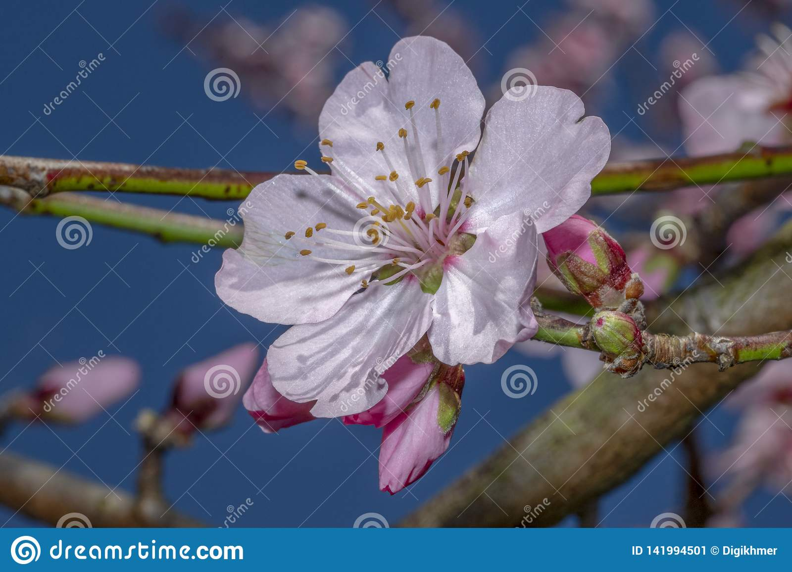 Sakura pink flowers blossoms