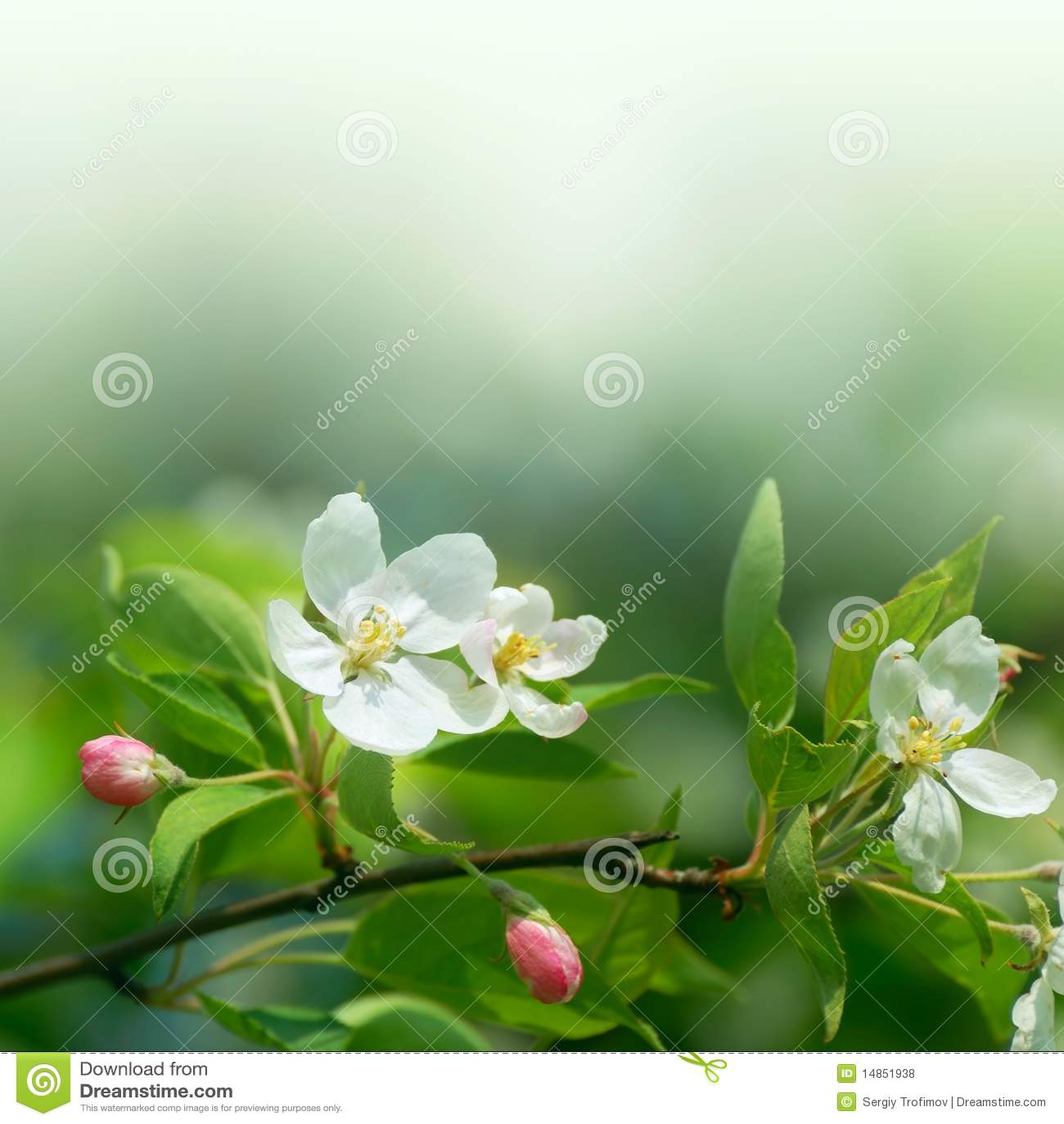 Cherry flowers in soft focus