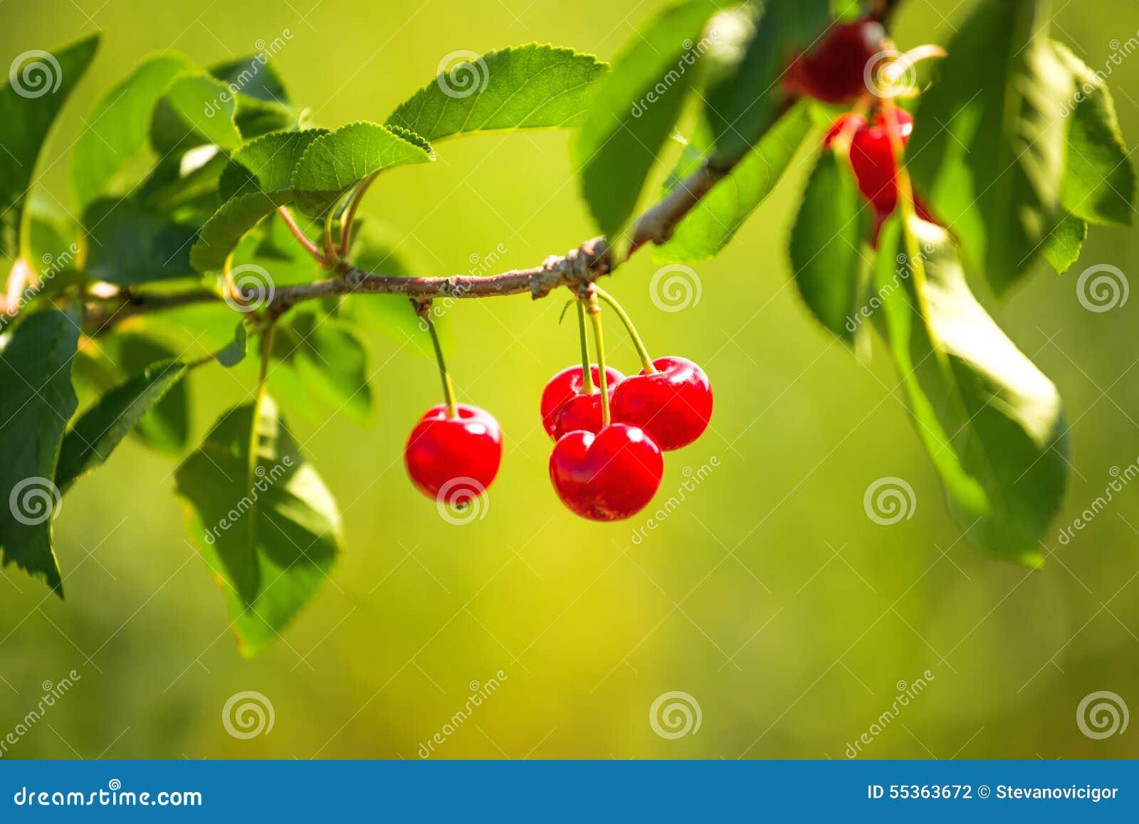 Cherry Fruit dolce sul Bracnh