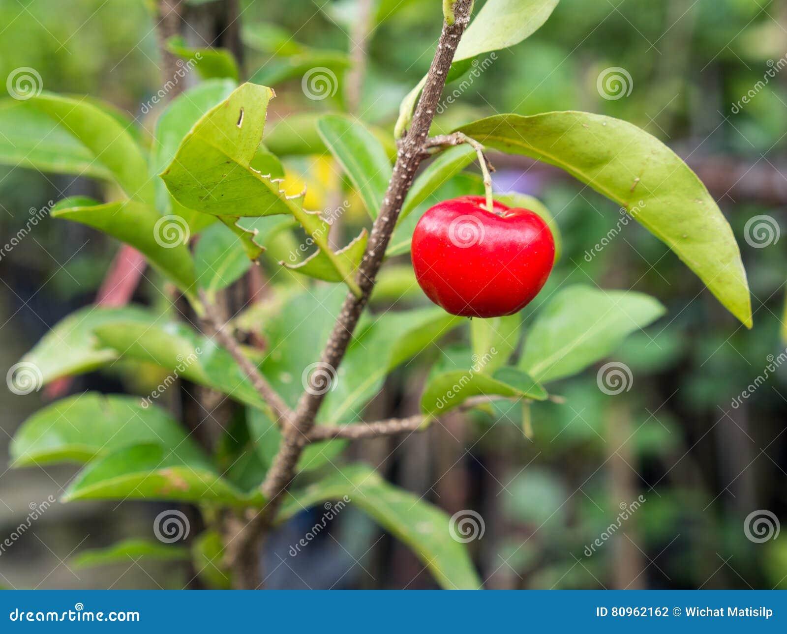 Cherry Hanging op de Boom