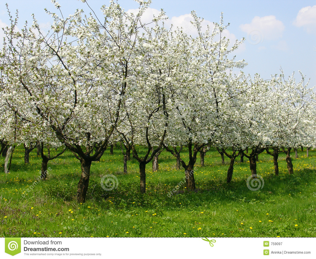 Cherry orchard 1 stock image image of beauty outdoor 759097 - Spring trimming orchard trees healthy ...