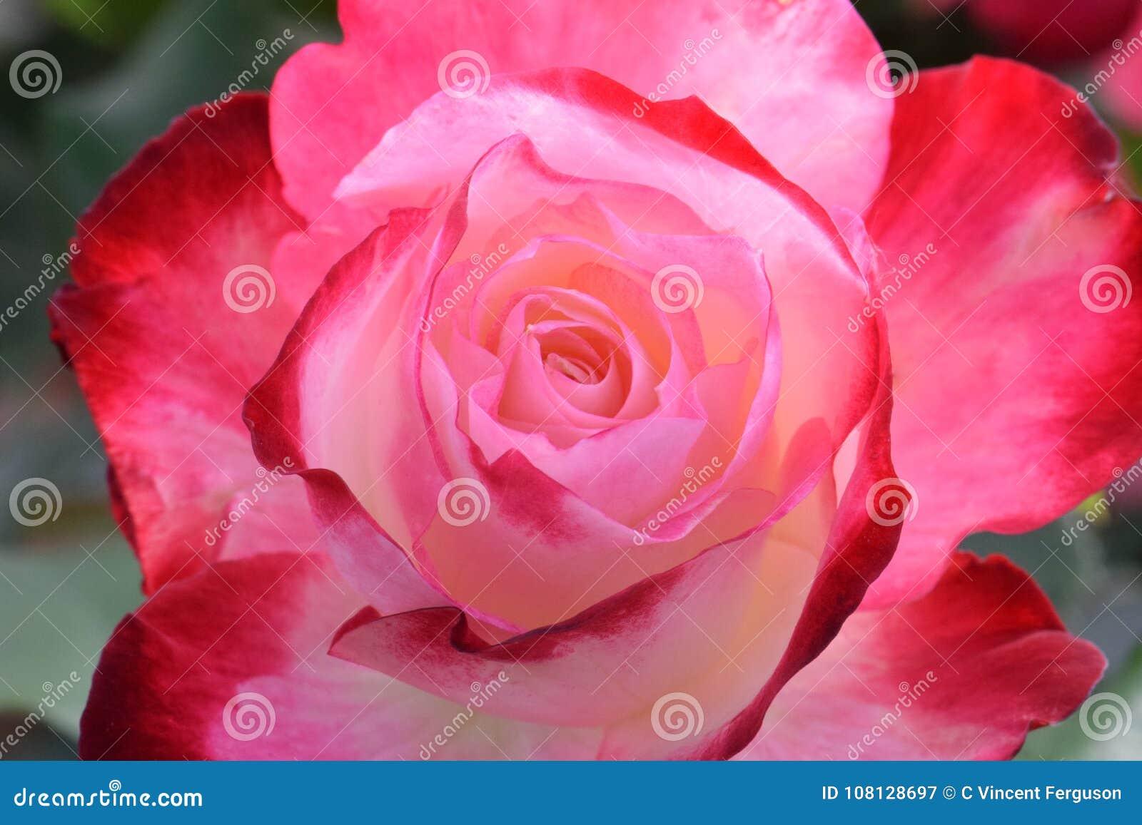 Cherry Parfait Rose Macro rouge et blanc crémeux