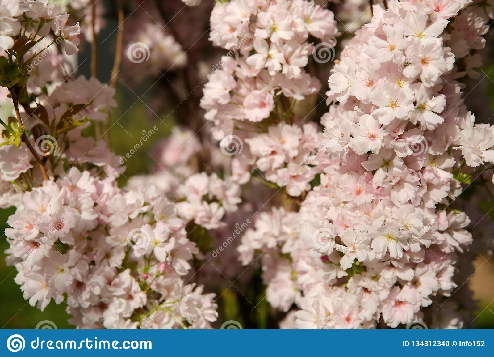 Cherry Pie Is A Decorative Tree Blooming Profusely With White