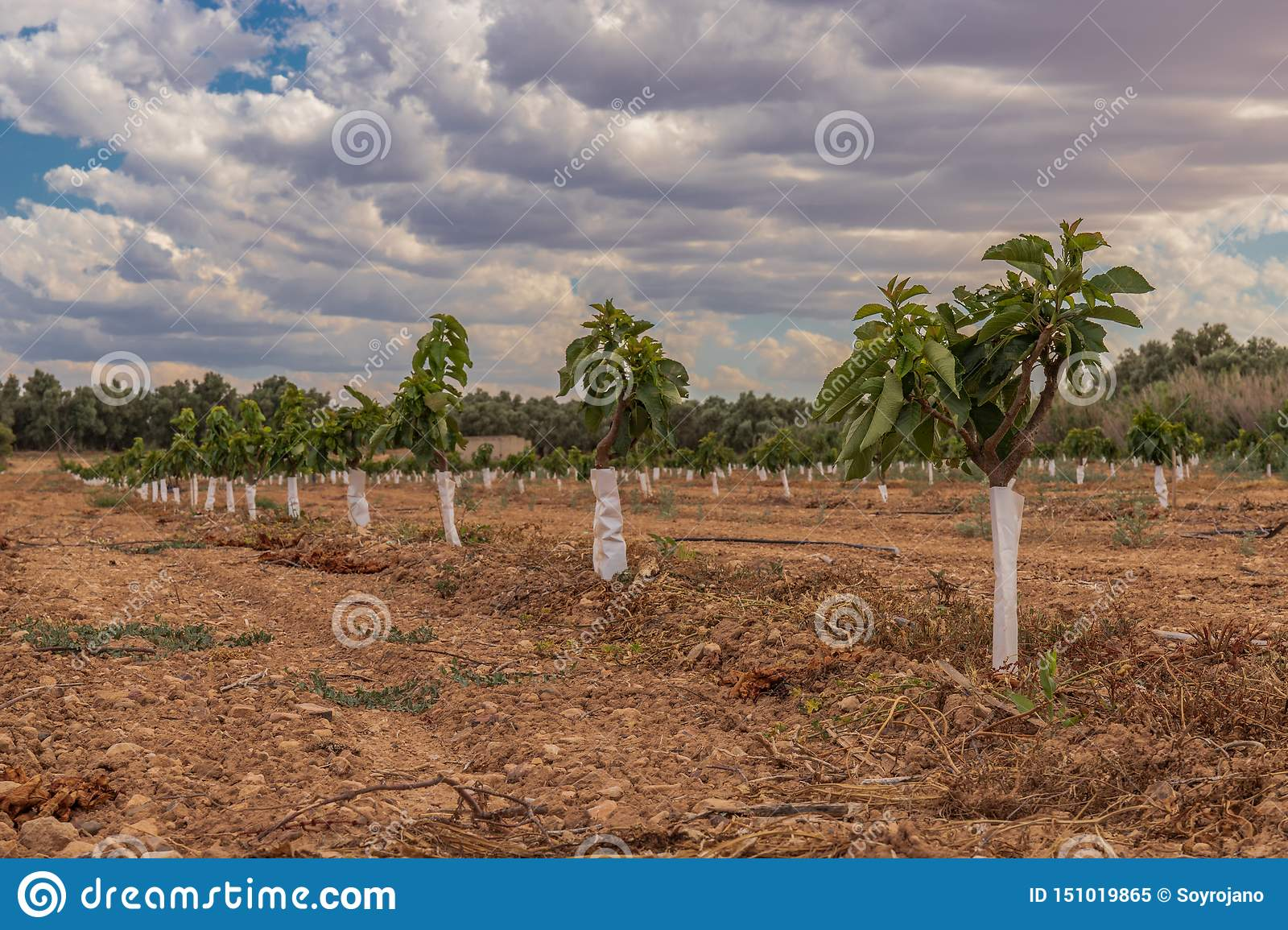 Cherry plantation small trees extensive agriculture