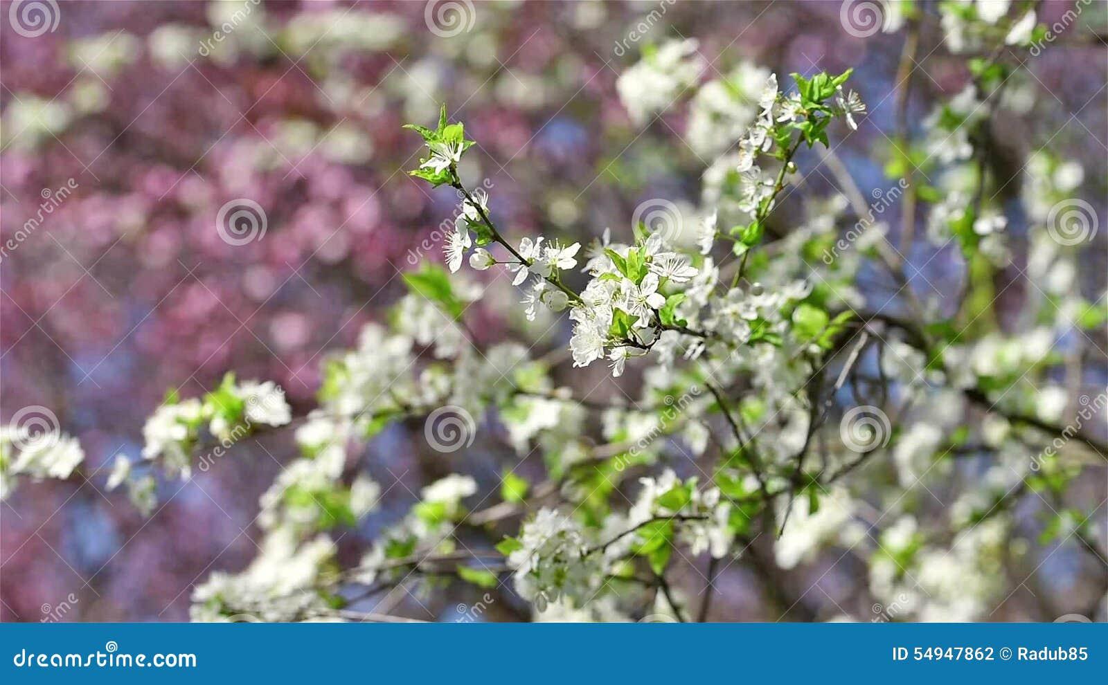 Cherry Plum Tree White Flowers Spring Blte Stock Footage Video