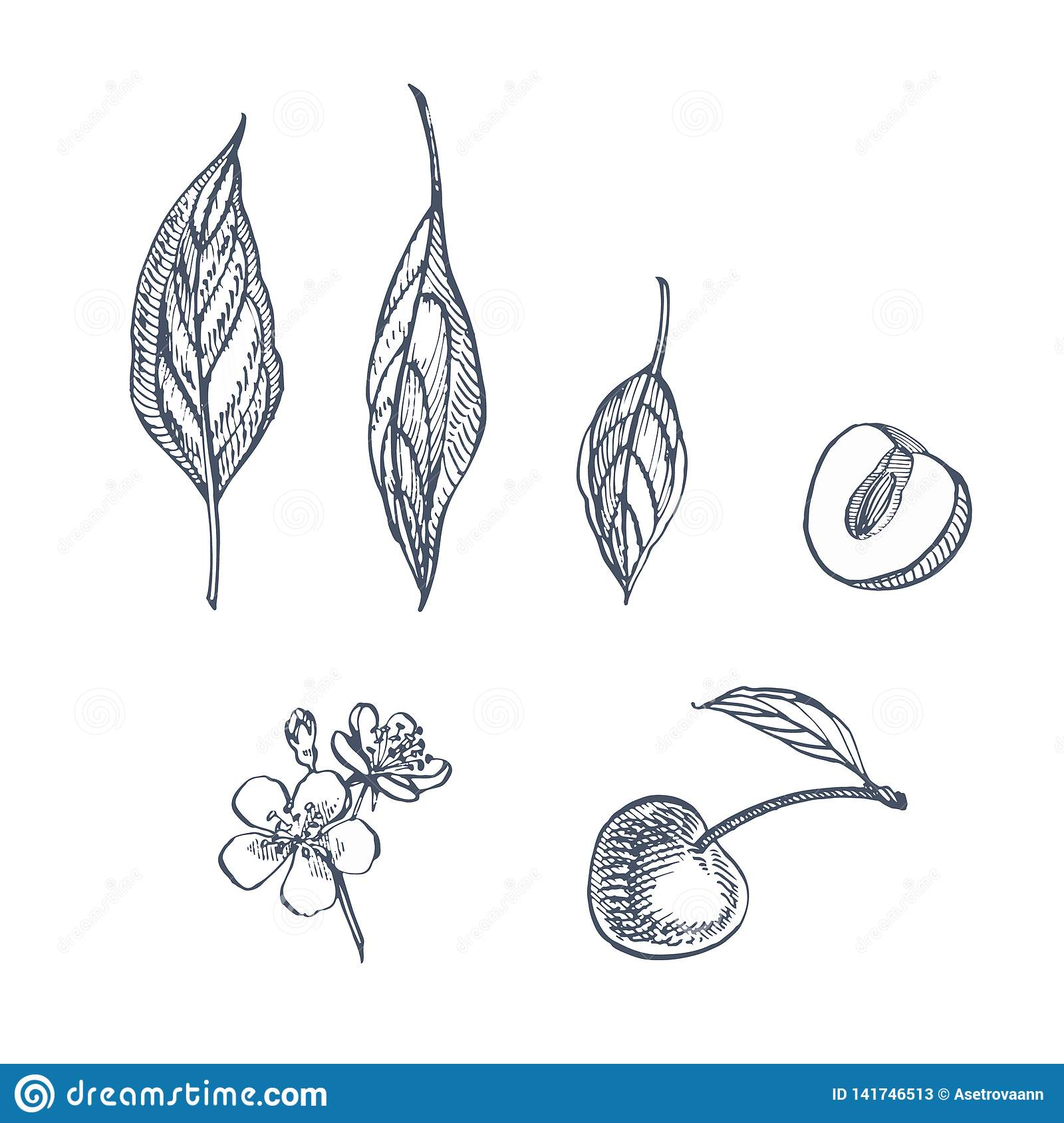 Cherry set. Hand drawn berry isolated on white background. Summer fruit engraved style illustration. Great for label