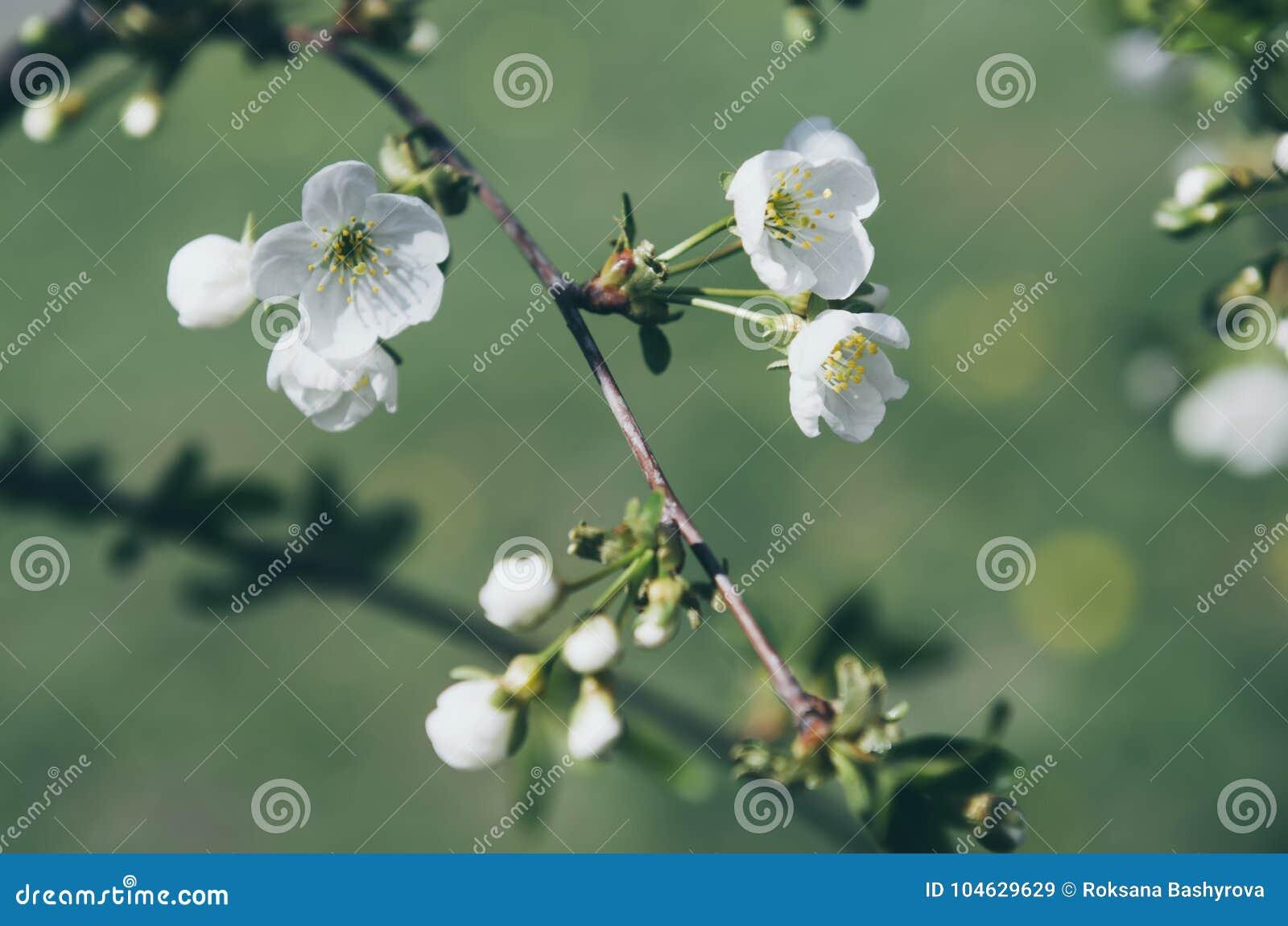 Download Cherry Spring Flowers stock afbeelding. Afbeelding bestaande uit growth - 104629629