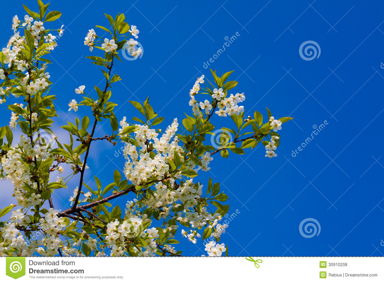 Spring cherry with nice blue background.