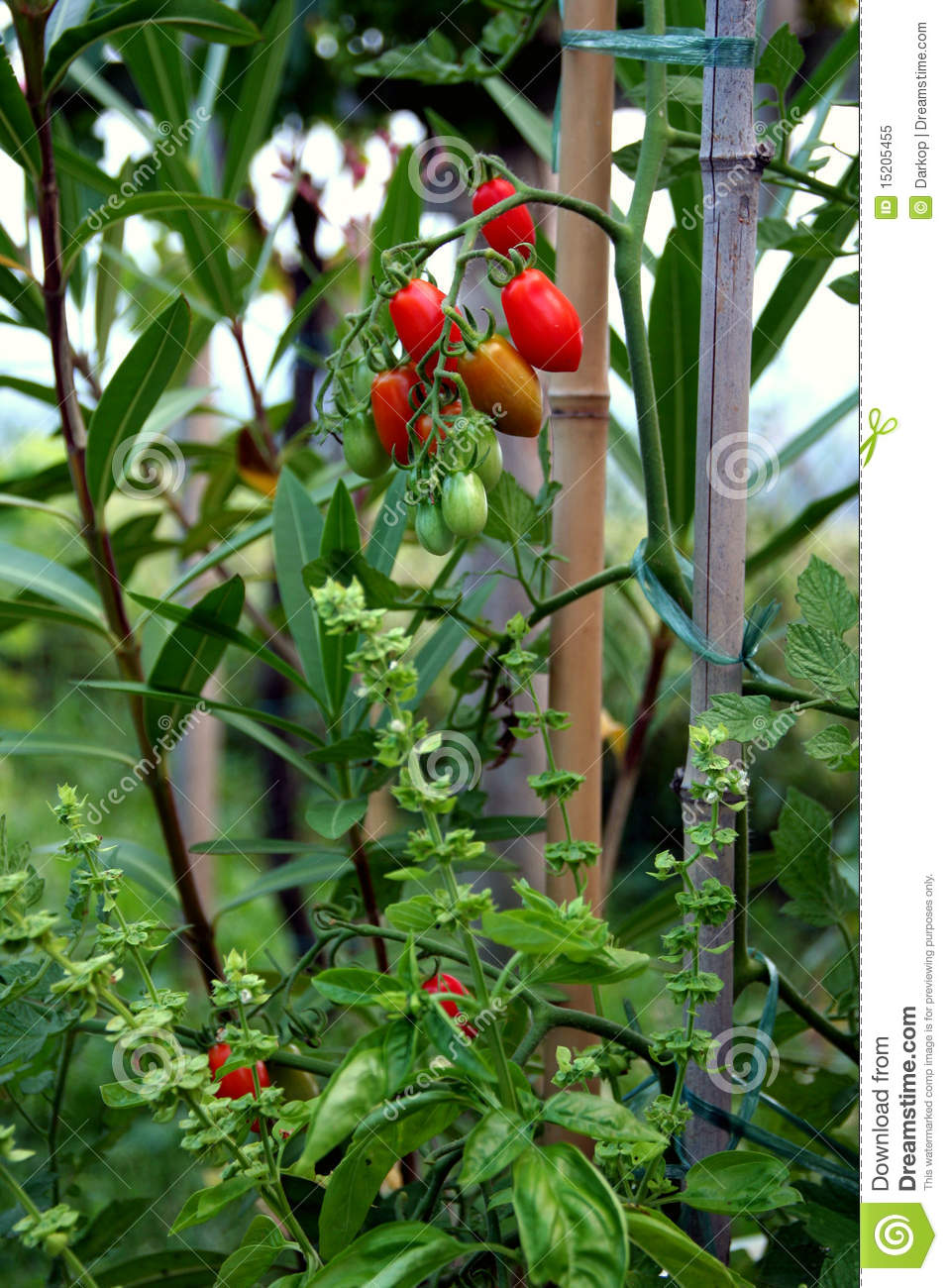 Cherry tomato and basil plant