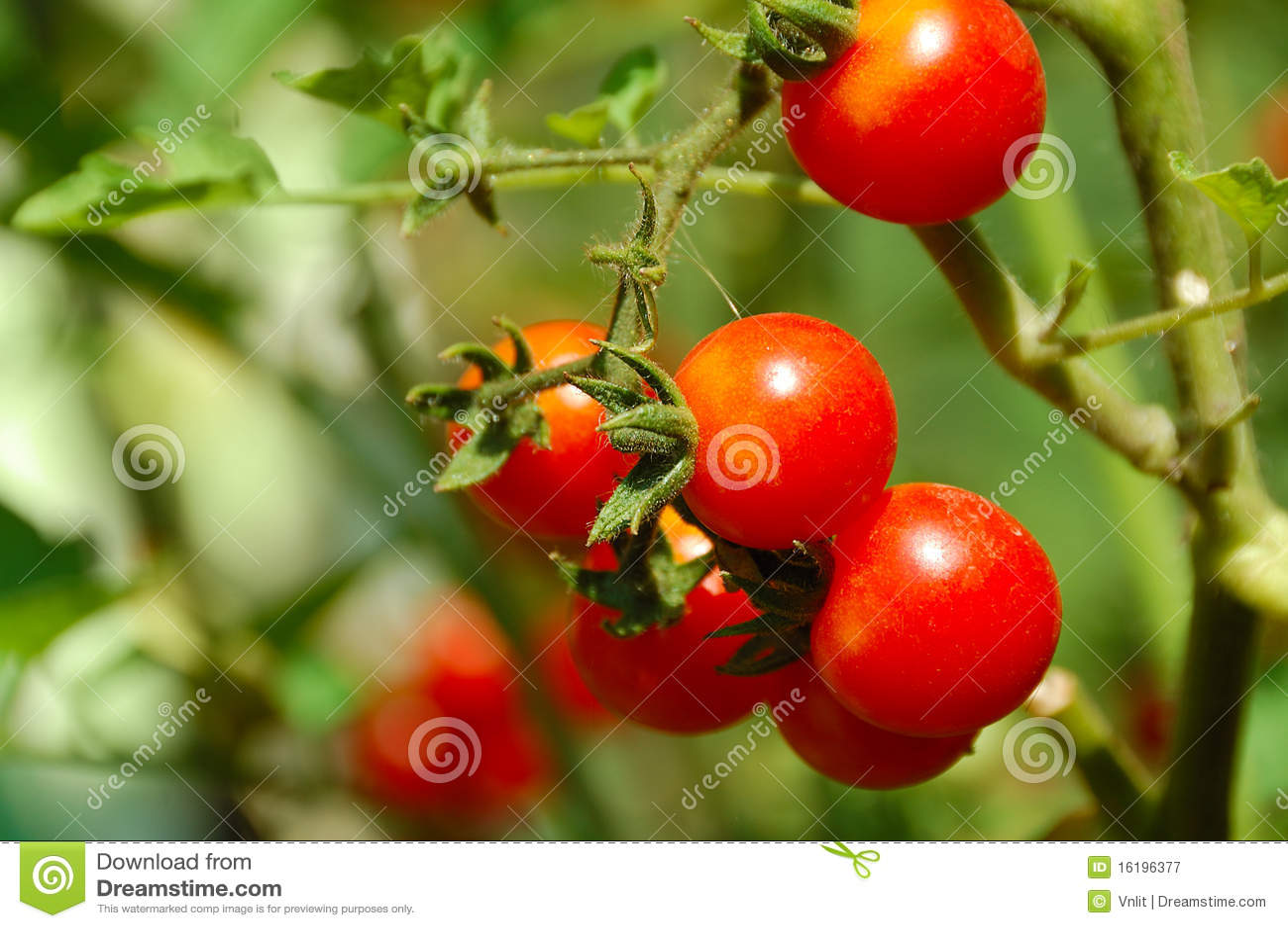 Cherry tomato on bed