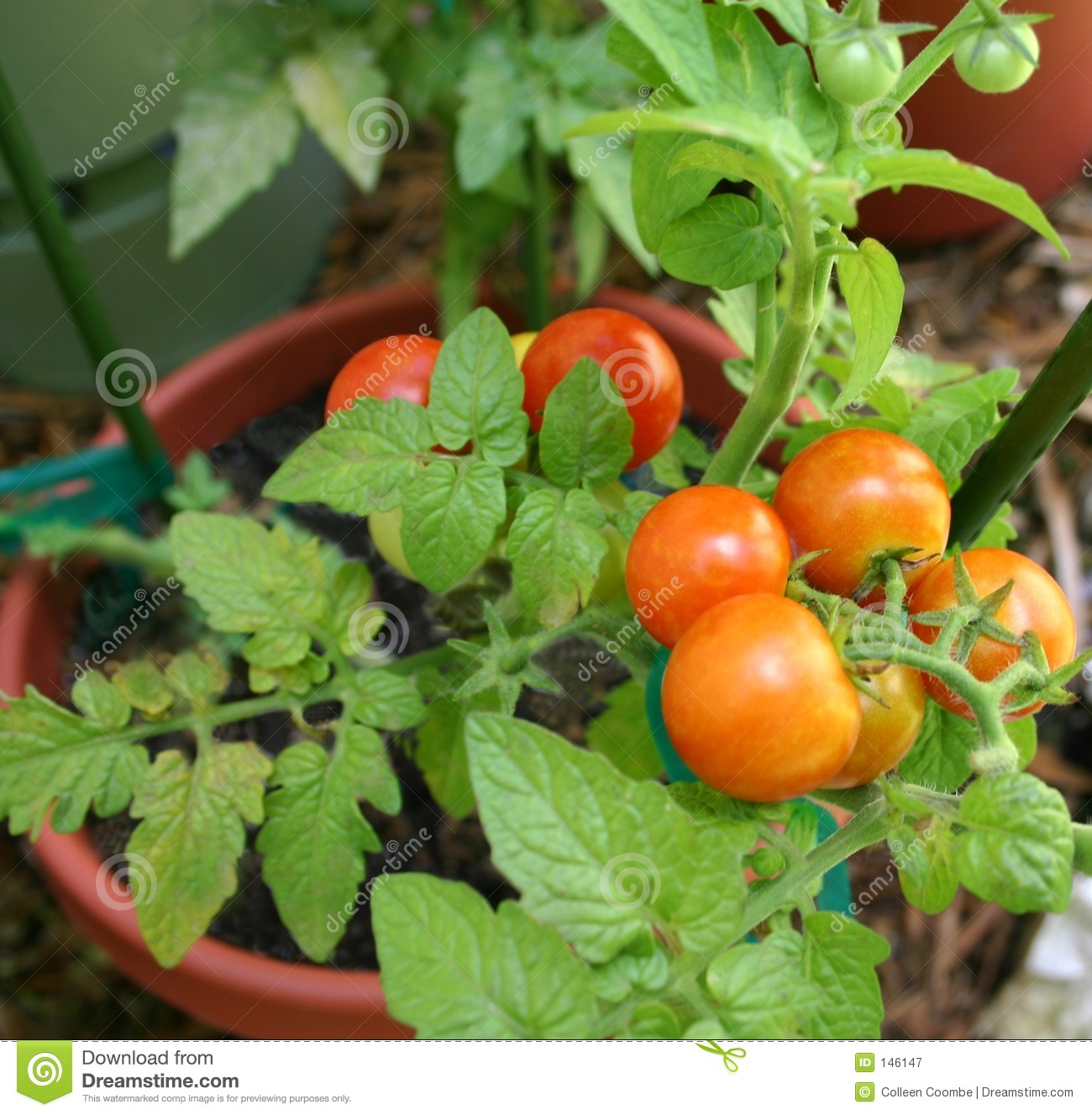 cherry tomato plant stock image image of tomato small 146147. Black Bedroom Furniture Sets. Home Design Ideas
